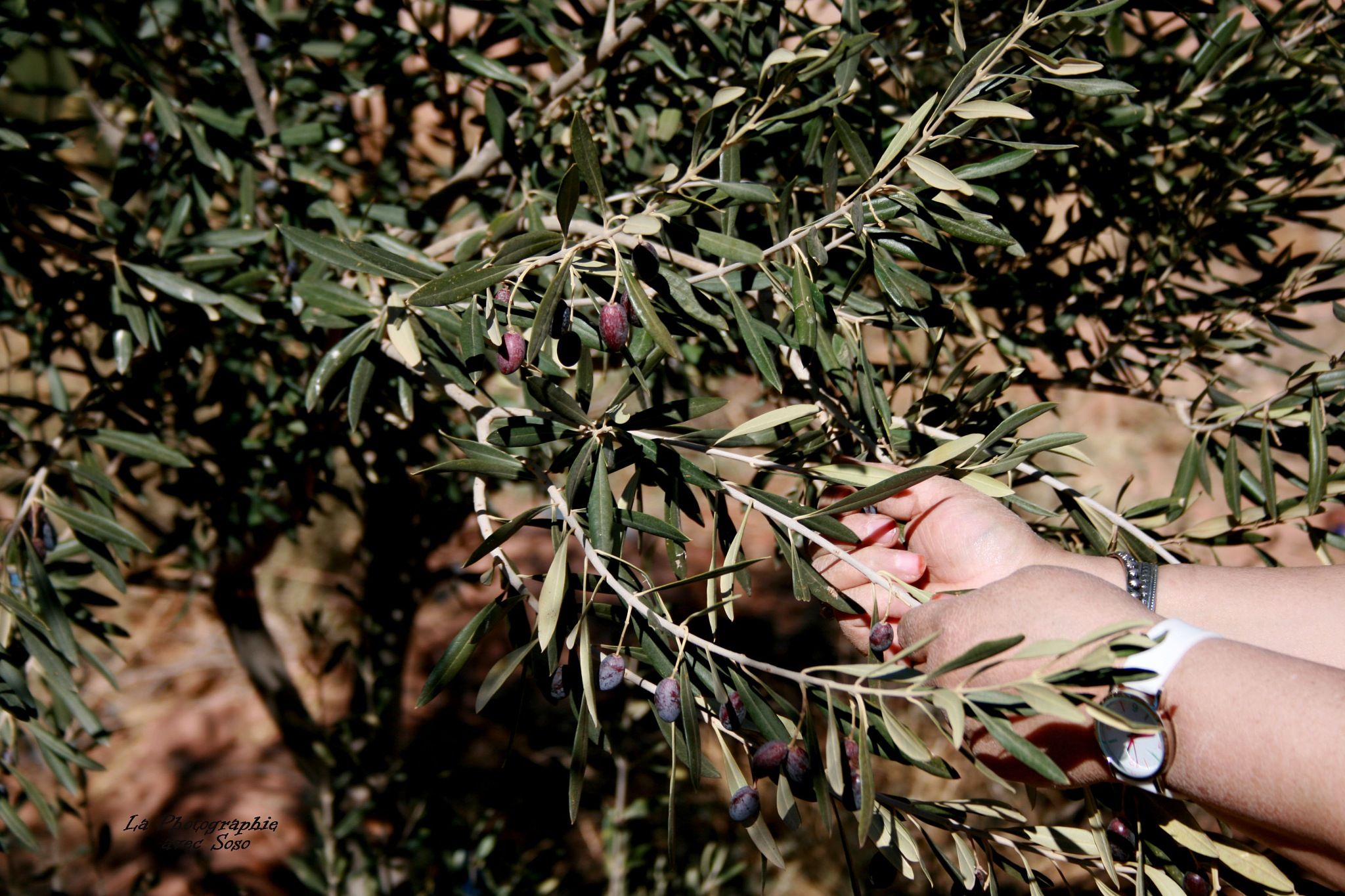 My mother reap the olives ♥ by addar sabah