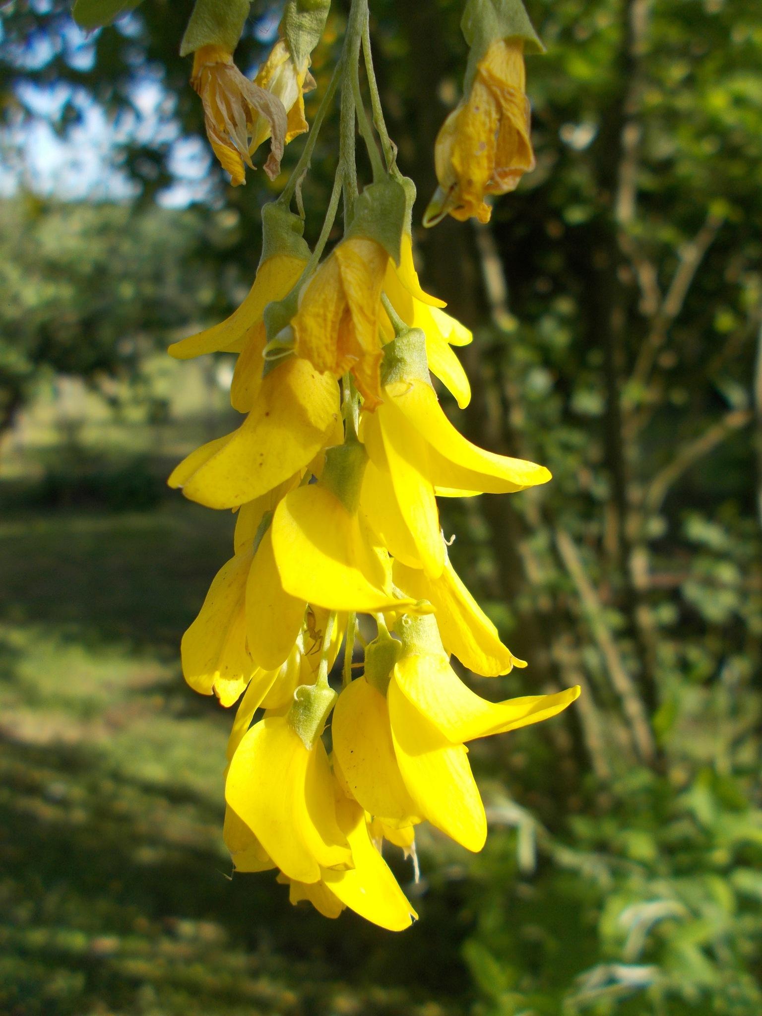 Sárga akác virág by NagyJozsef
