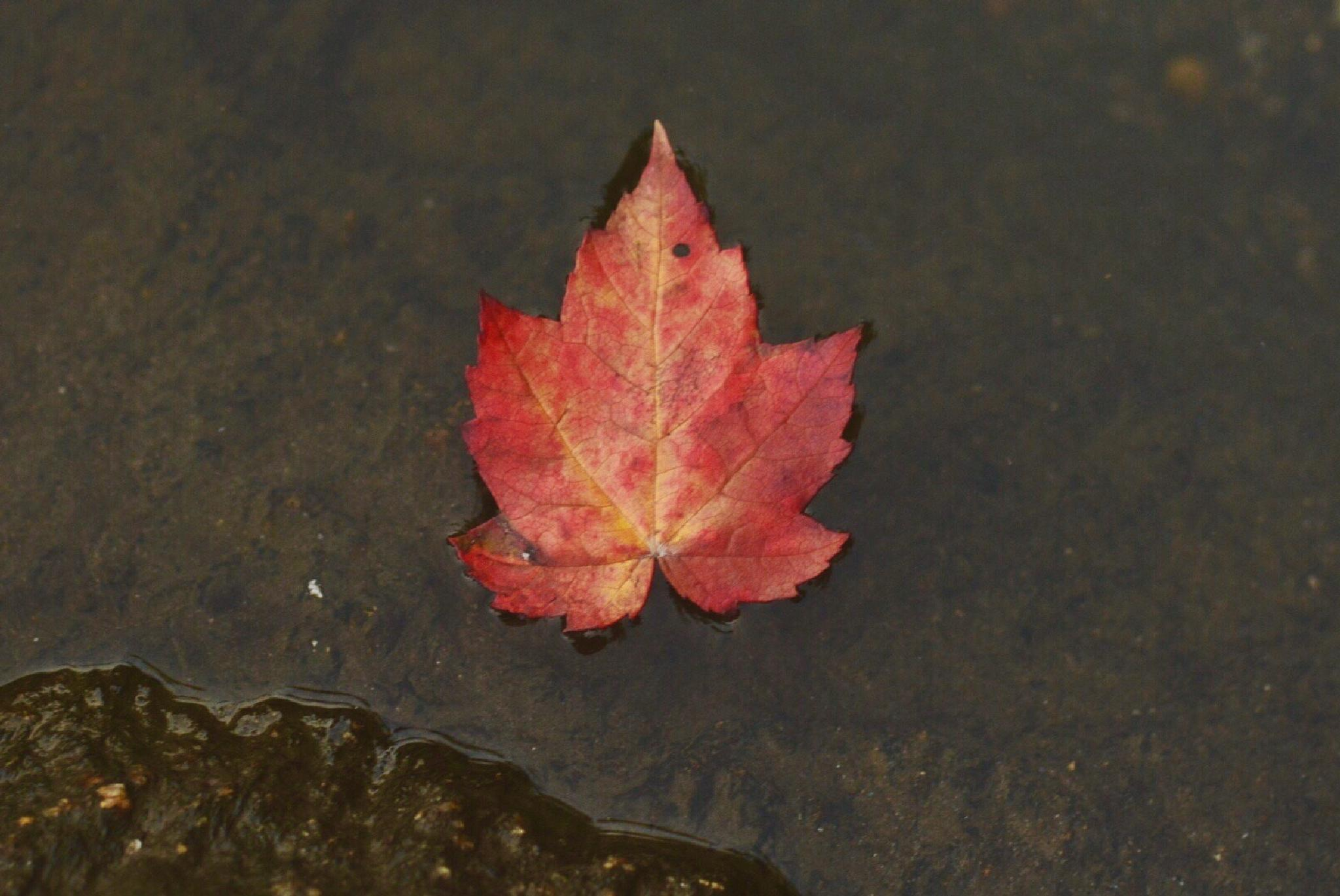 Photo in Macro #lake #nature #wilderness #autumn #fall #forest #woods #mountains #leaf #red #water #river #macro #inspiration #hana_photograpy