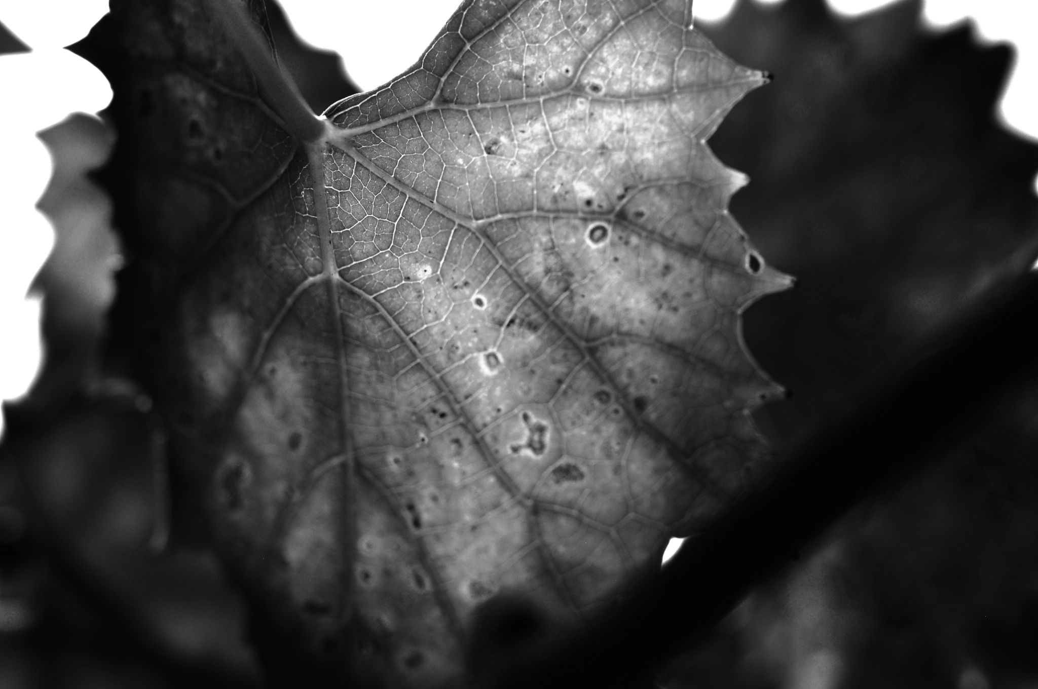 Sunlight through the Grape leaves by Jacob Smith