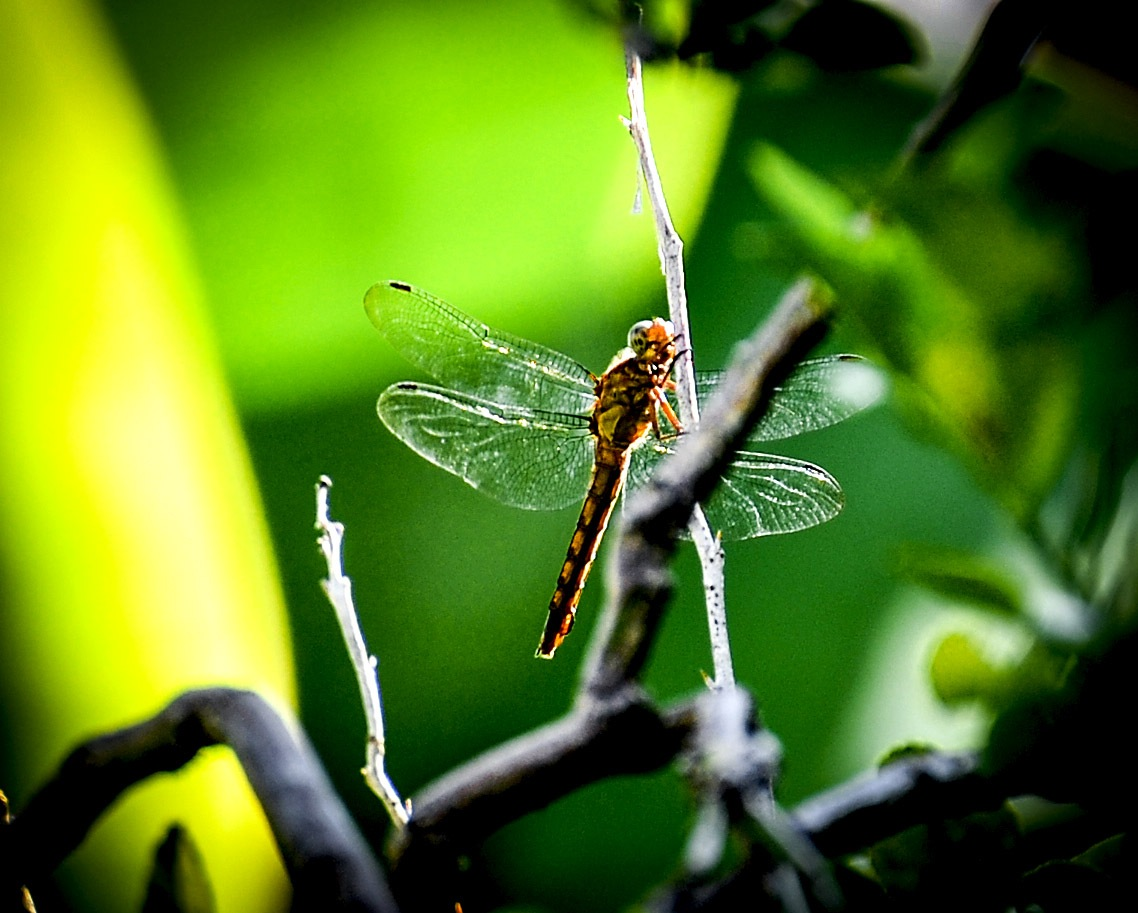 Sunlight on a dragonfly by FNA/LKN