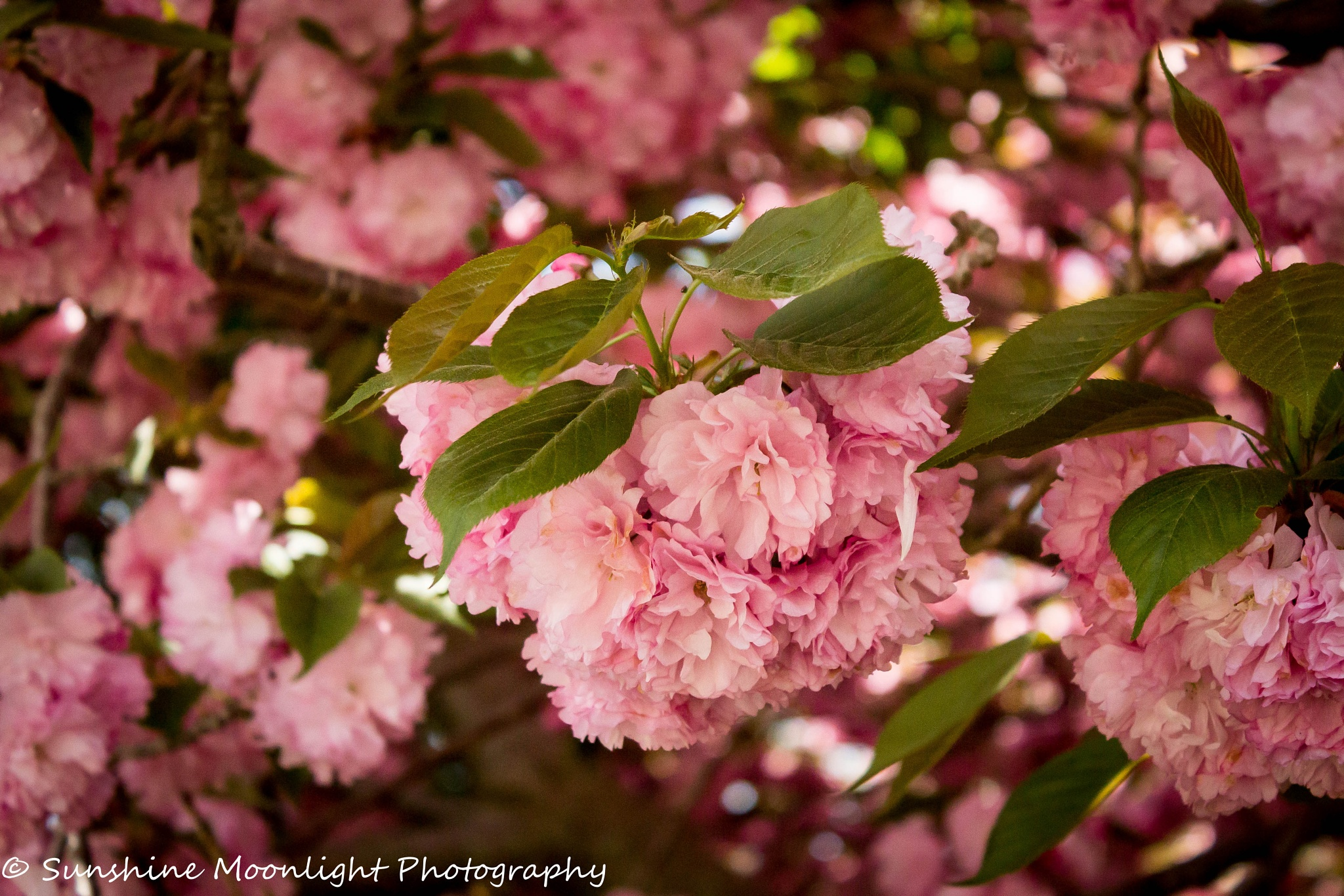 Photo in Nature #cherry #pink #blossoms
