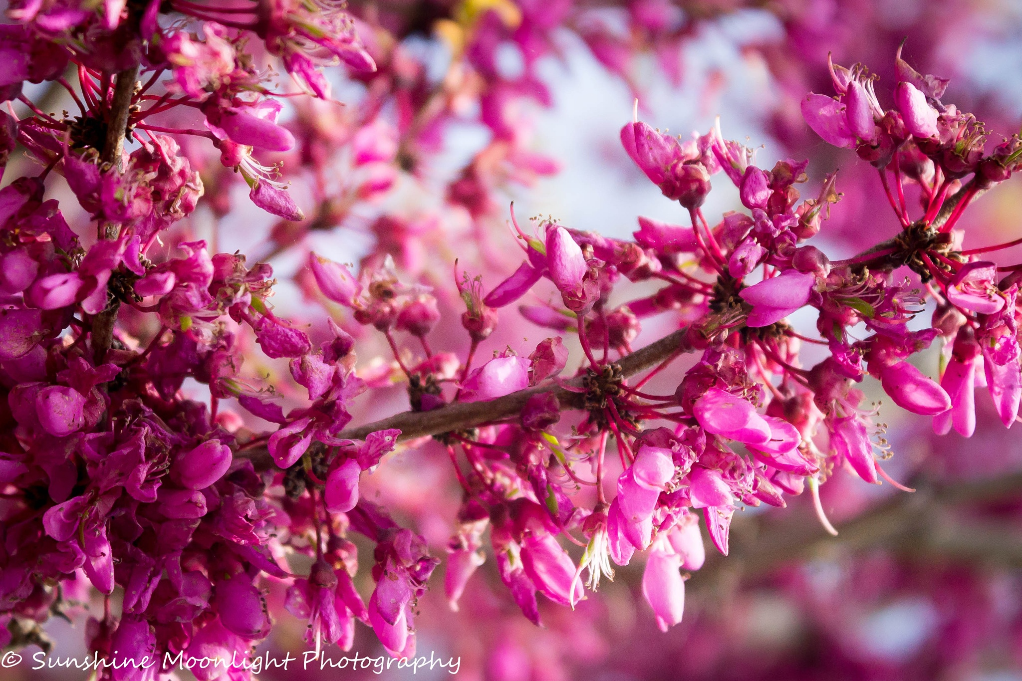 Pink Buds by Sarah Smith