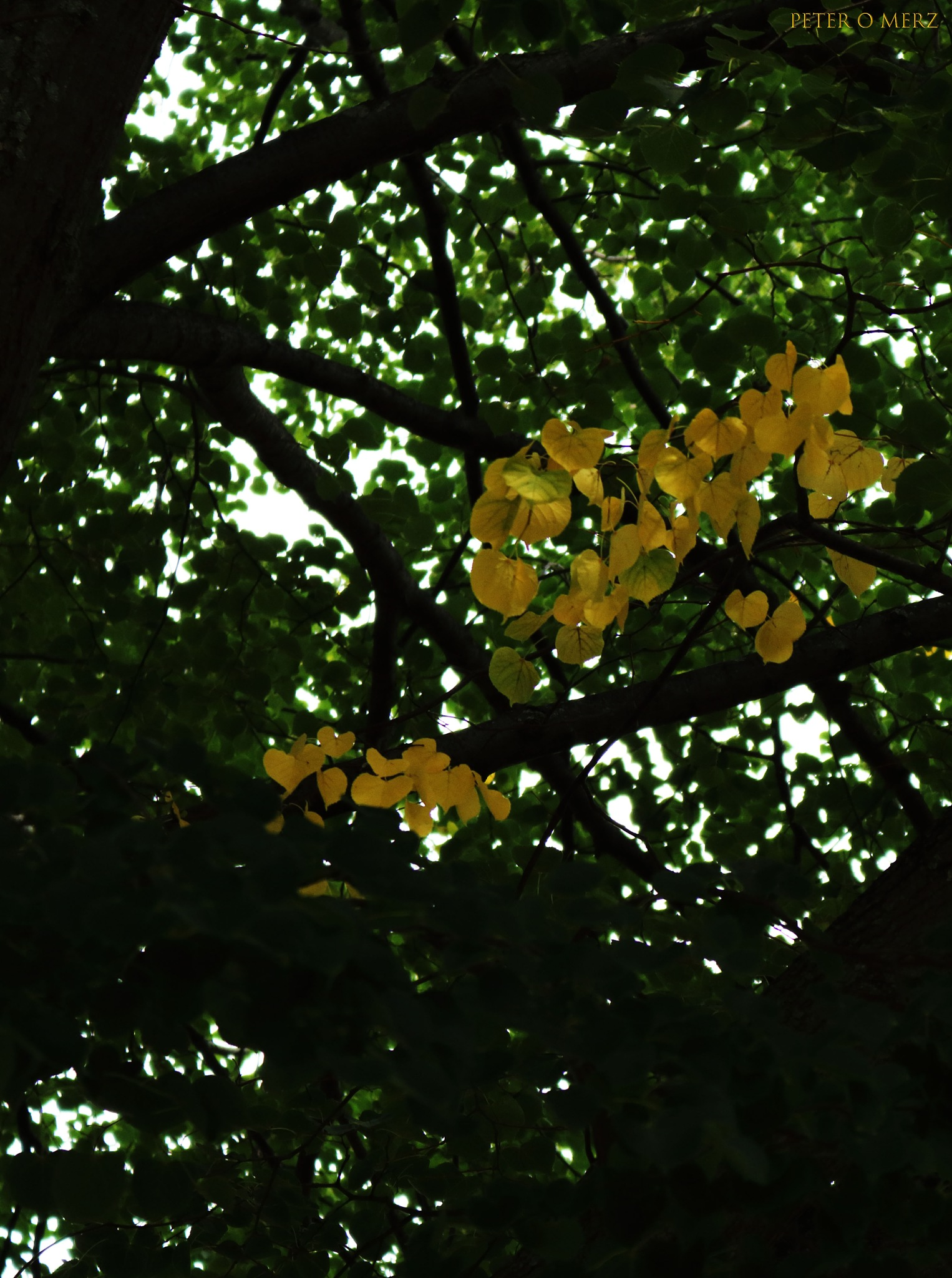yellow in a sea of green by Peter O Merz