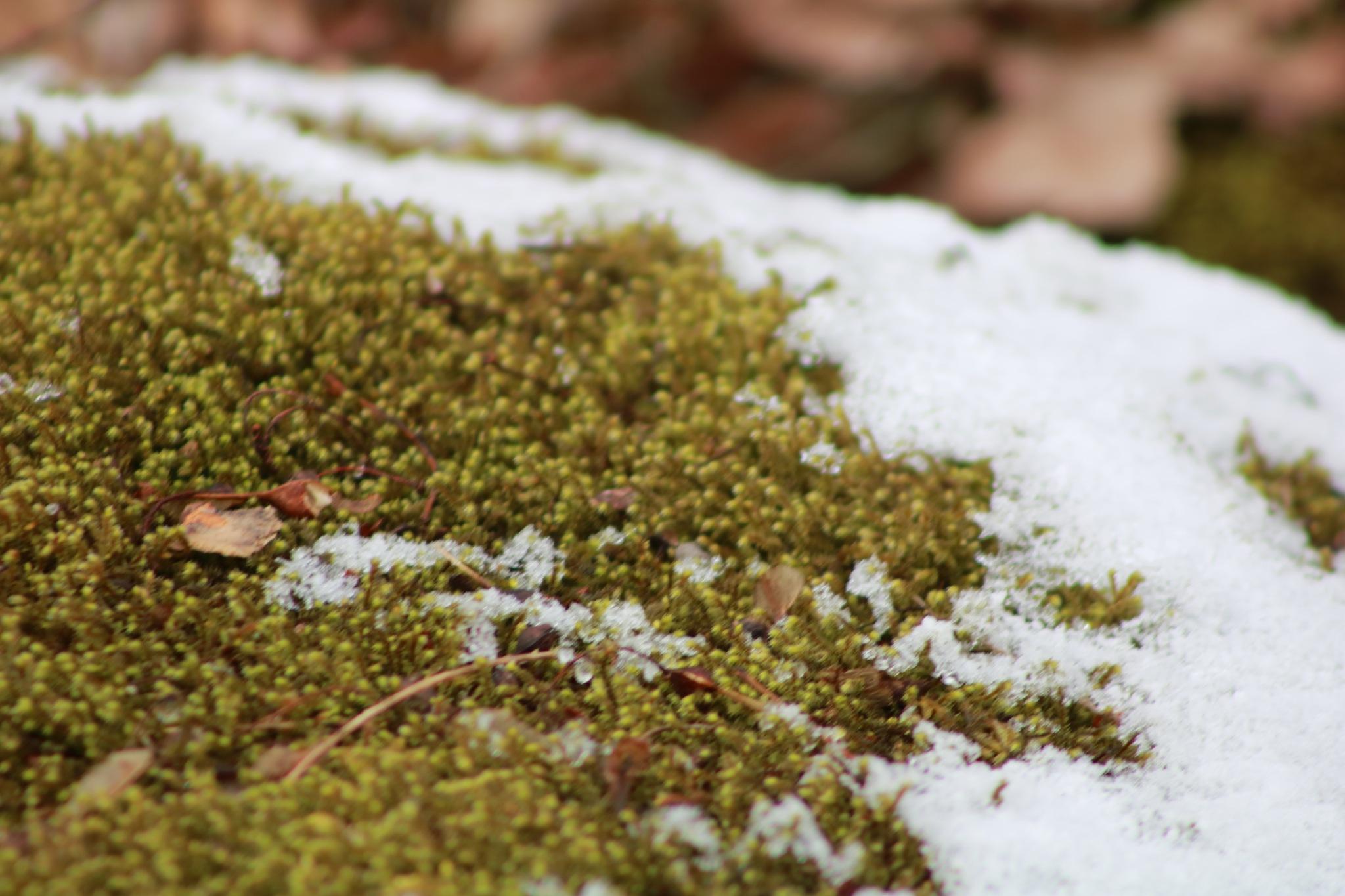moss 'n snow by Peter O Merz