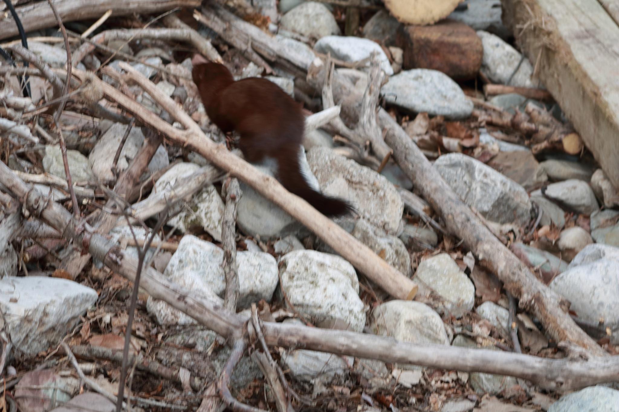 brown mink running away! by Peter O Merz