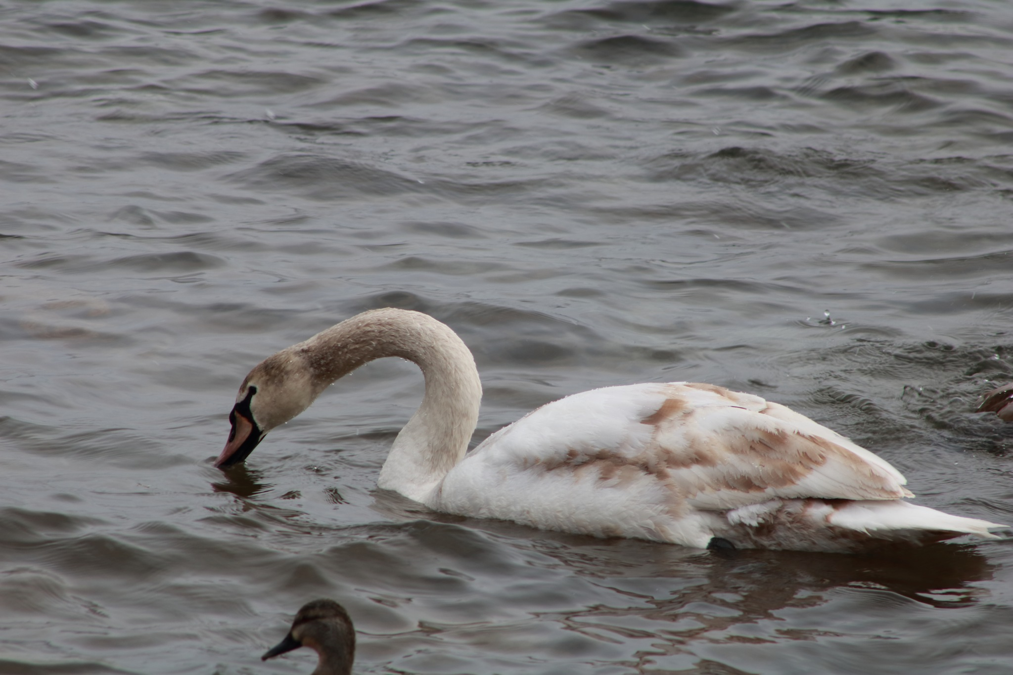 swan on the lake by Peter O Merz