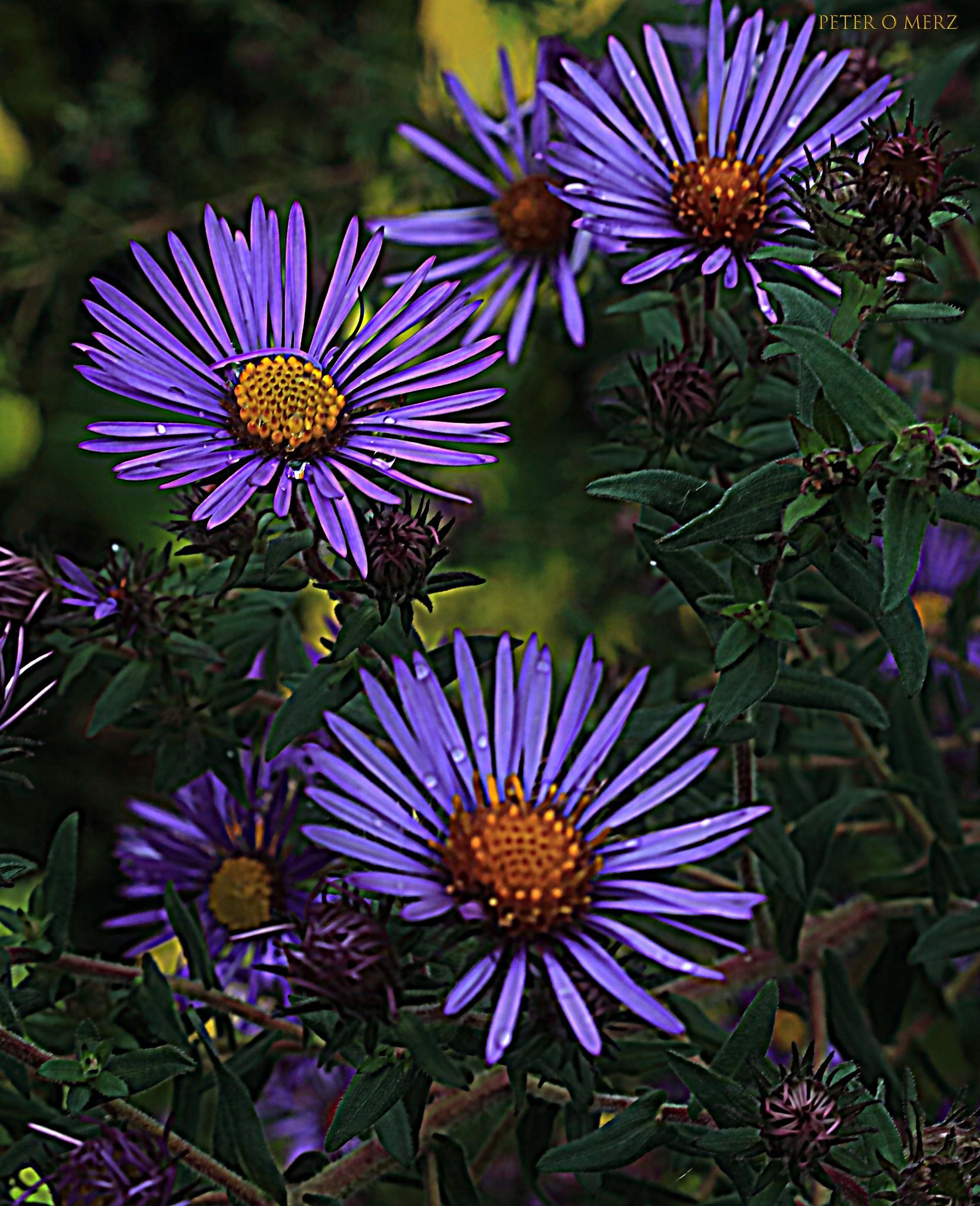purple beauties by Peter O Merz