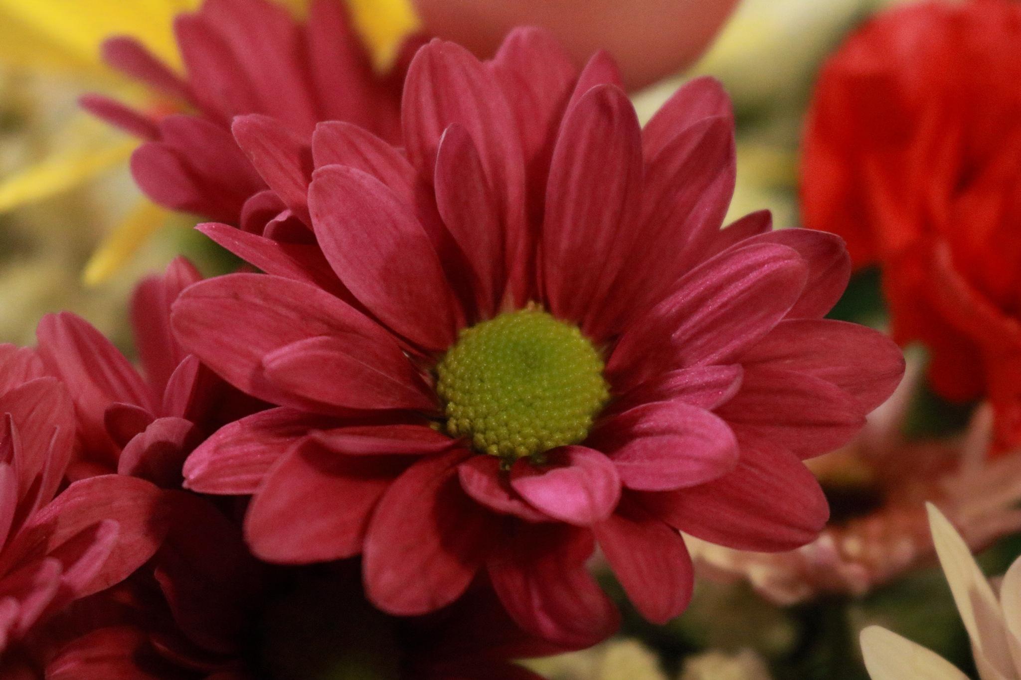 fusia daisy by Peter O Merz