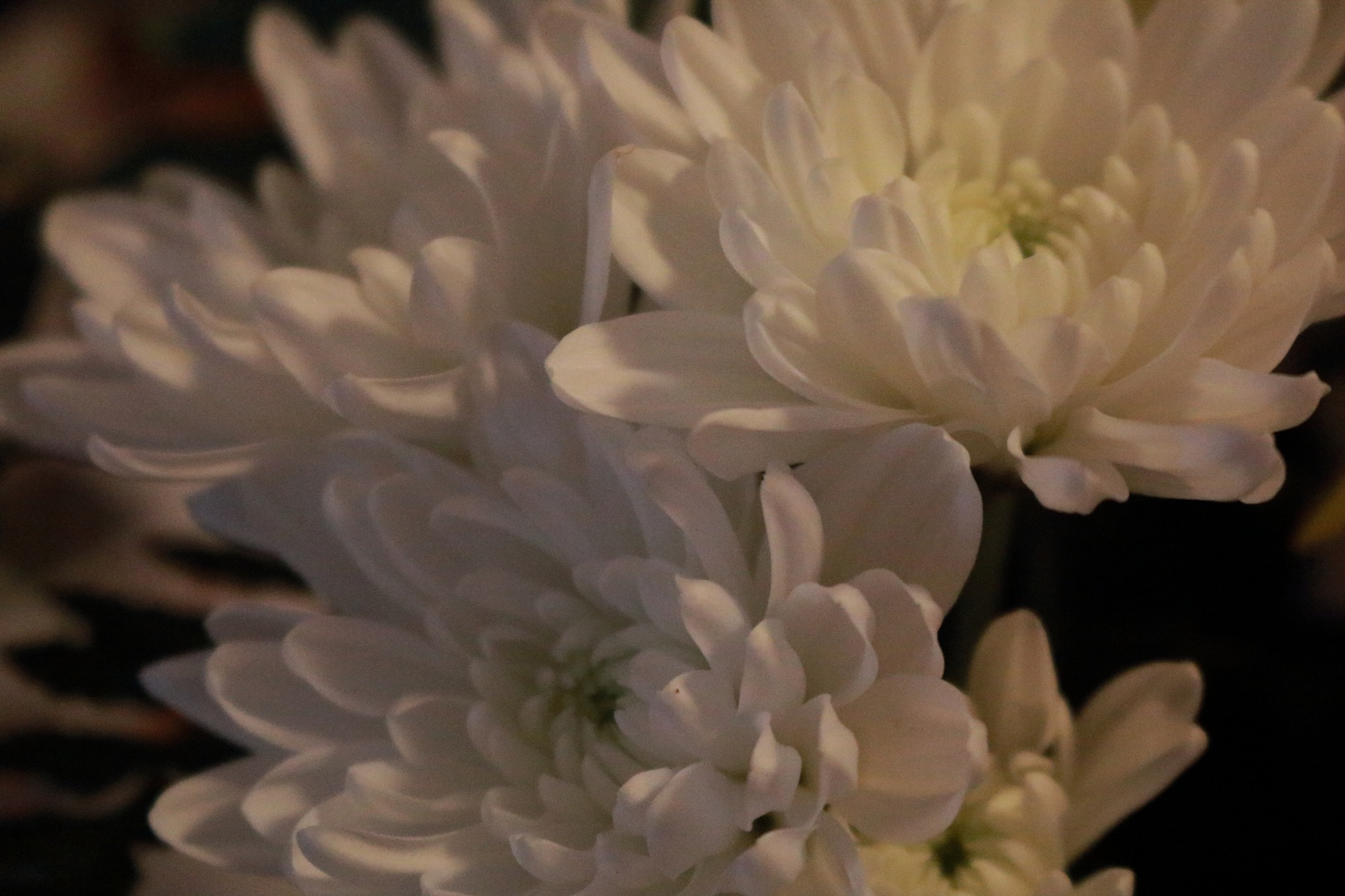 white asters by Peter O Merz