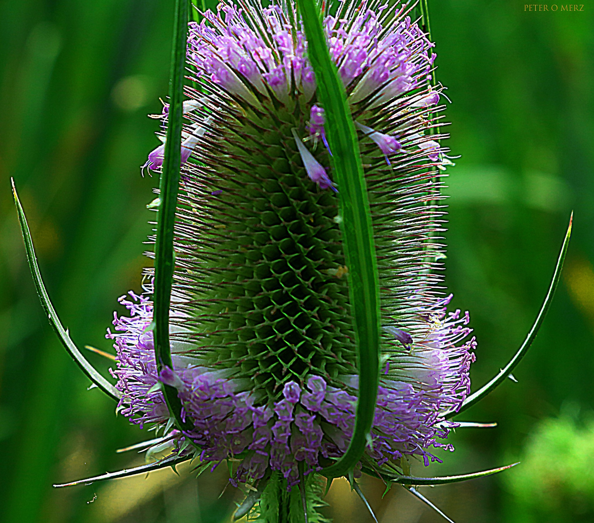 thistle in bloom! by Peter O Merz