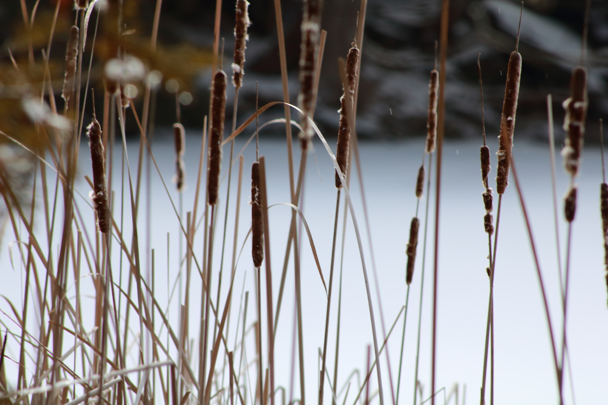 cattails on crawford lake by Peter O Merz