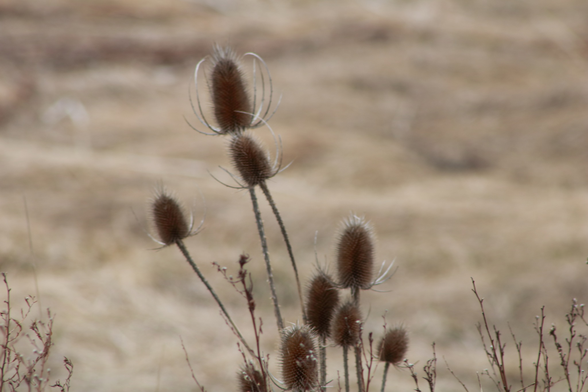 thistles in the field by Peter O Merz