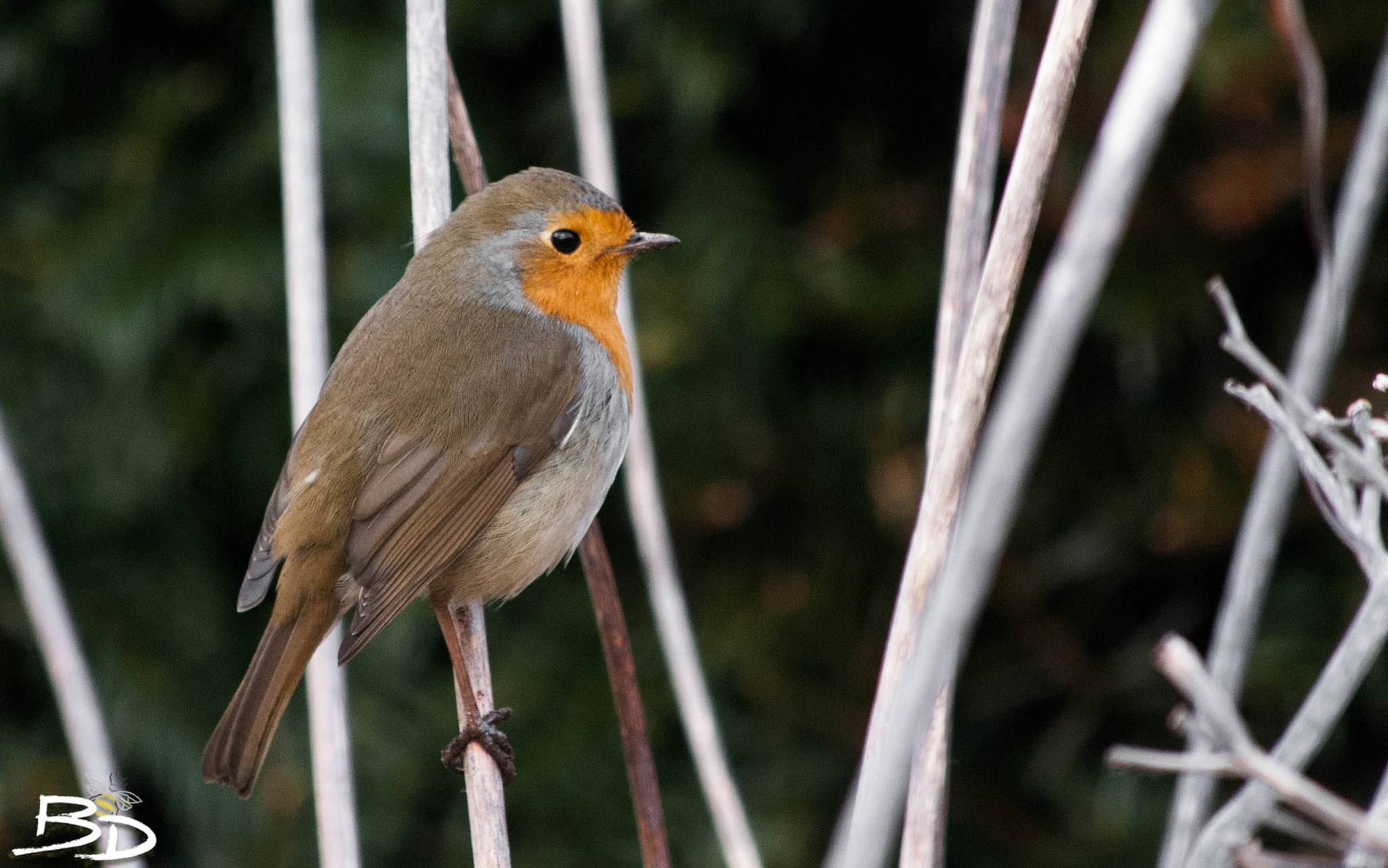 Robin chilling in winter... by Simon Beedie