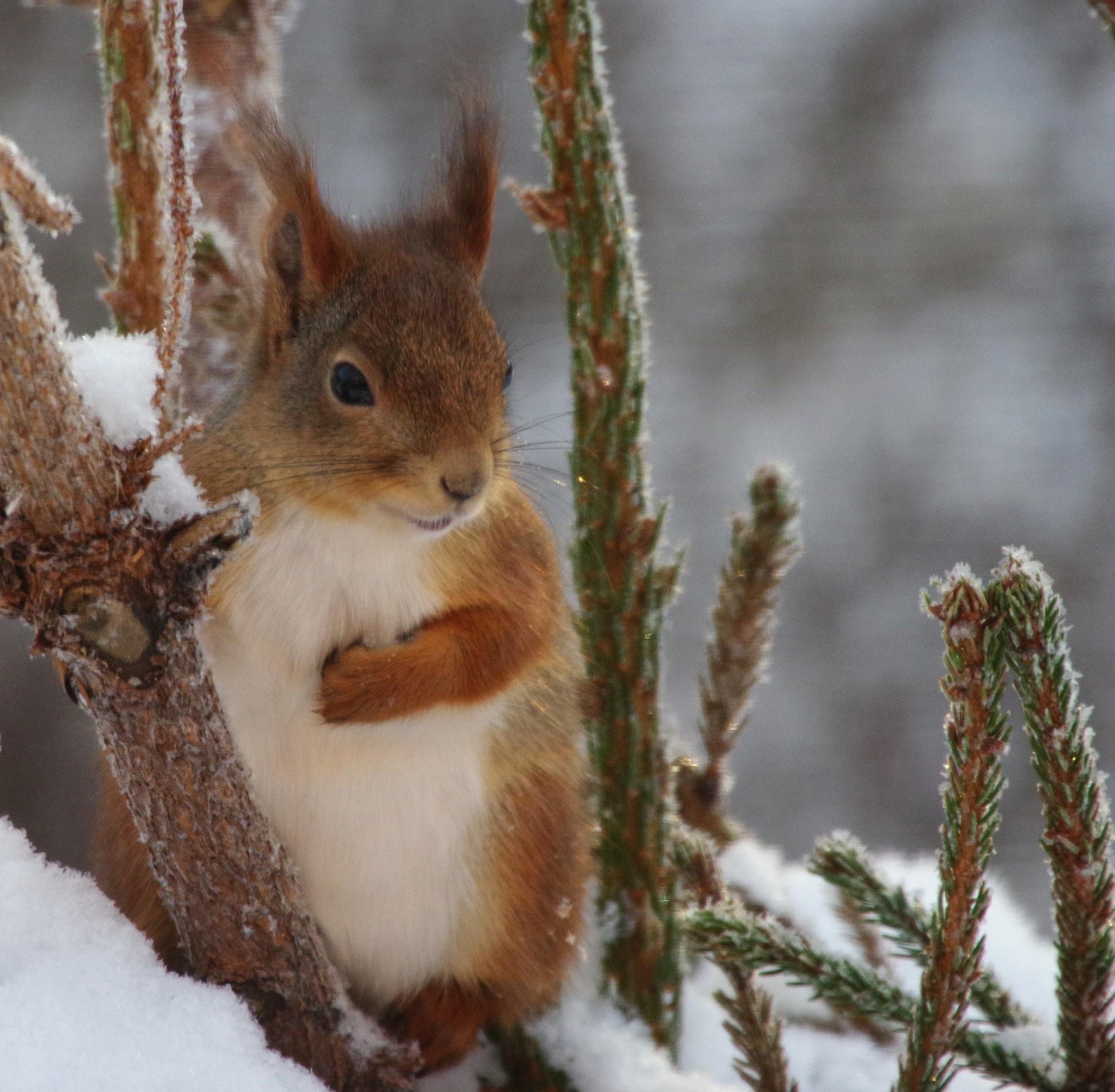 Squirrel by Annica Nykvist