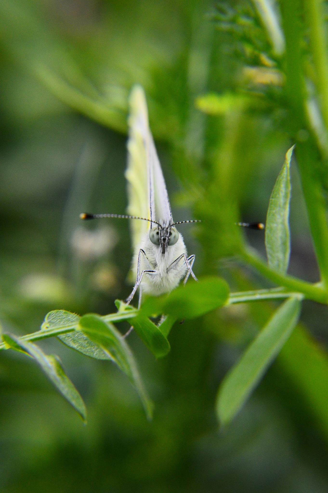 Butterfly by Roanne Frerejean