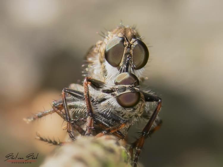Robberfly with prey by Bert van Beek