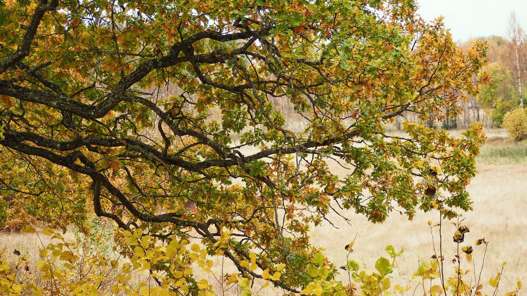 The Oak  by Ove Bogart Gunnarsson