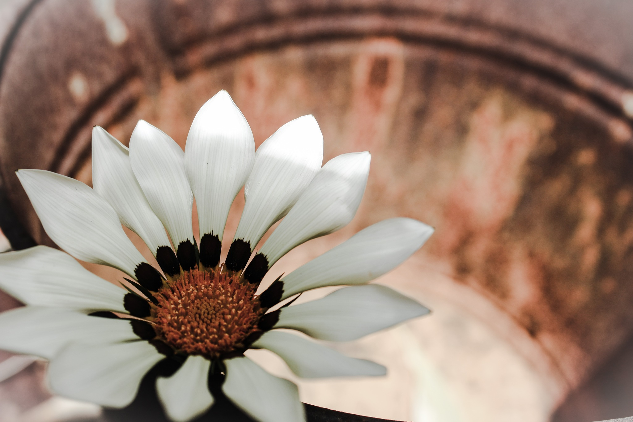 Floating Gazania by anxxphotography