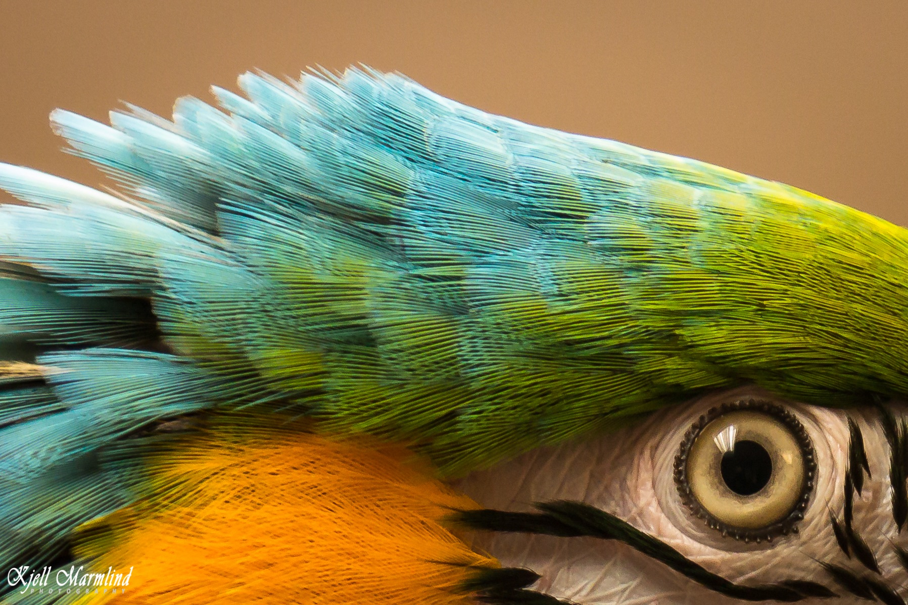 Kompiz, blue and gold macaw by Kjell Marmlind