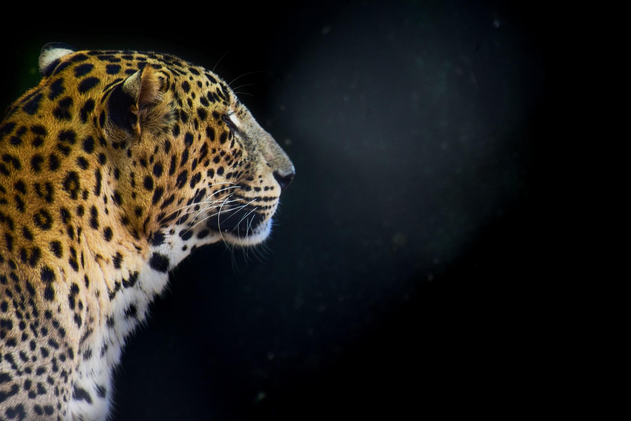 Photo in Animal #leopard #nature #wildlife #wild #nikon #india #animal