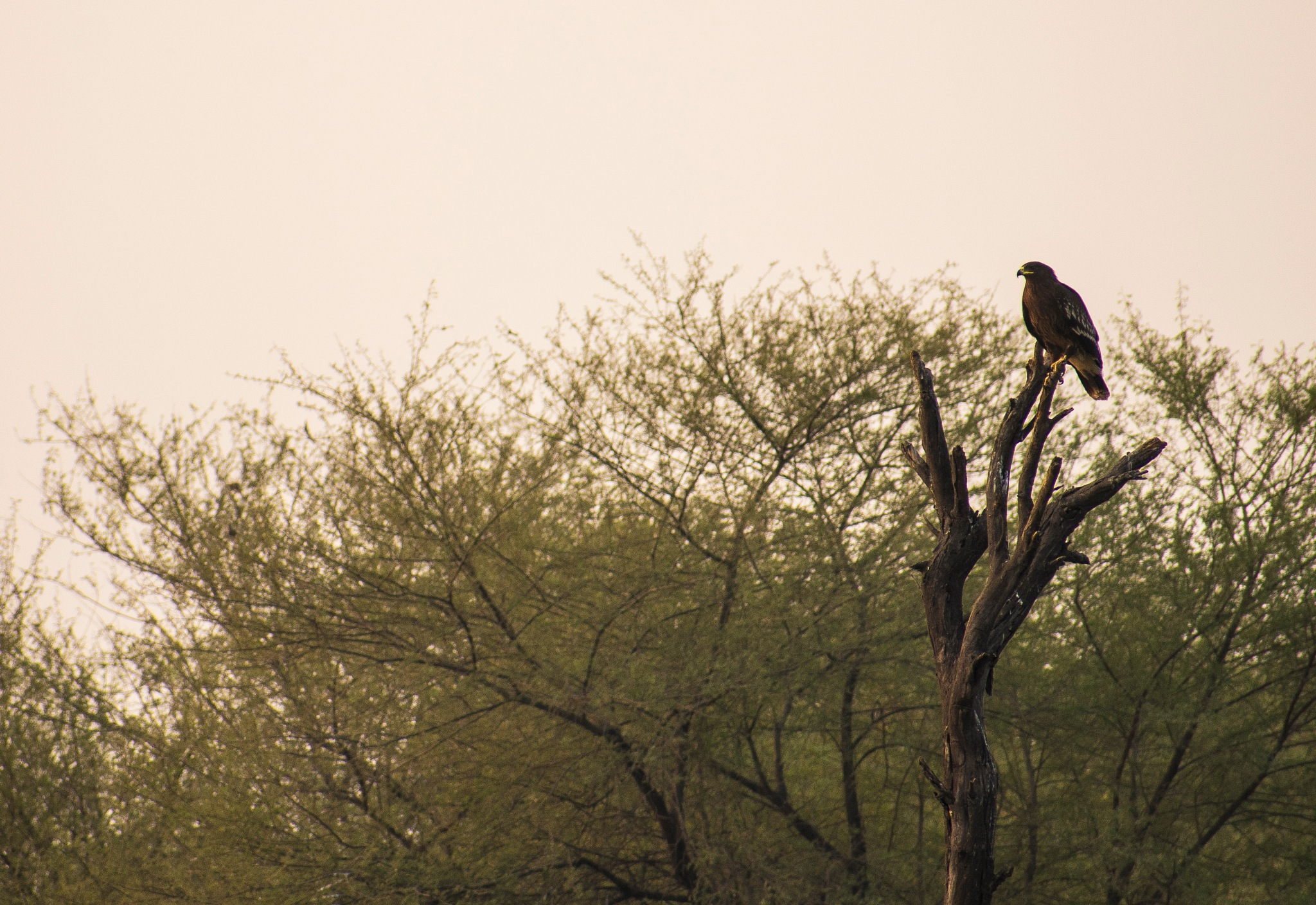 spotted eagle by Harsh Patel