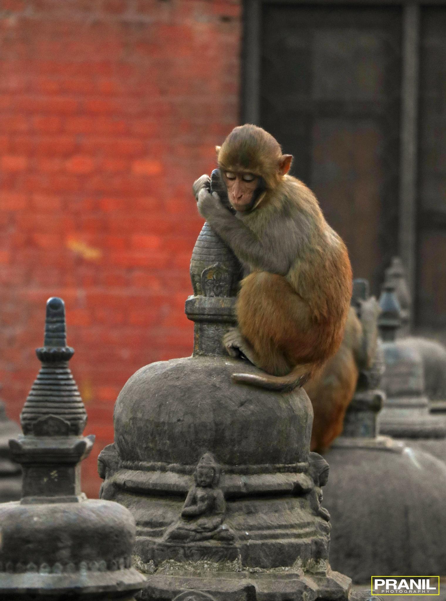|MONKEY TEMPLE| by Pranil Shakya