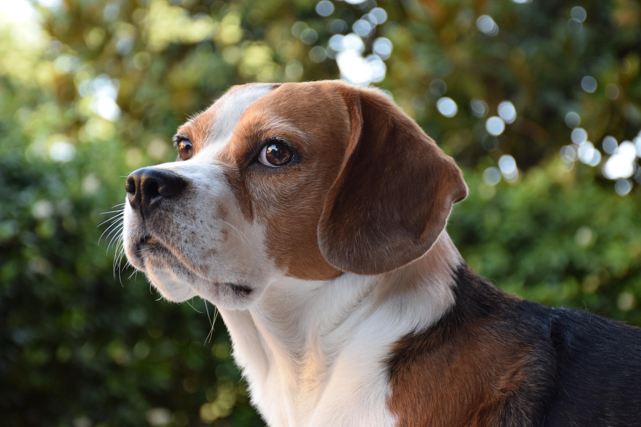 beagle  by Carolina Vanessa Frontini