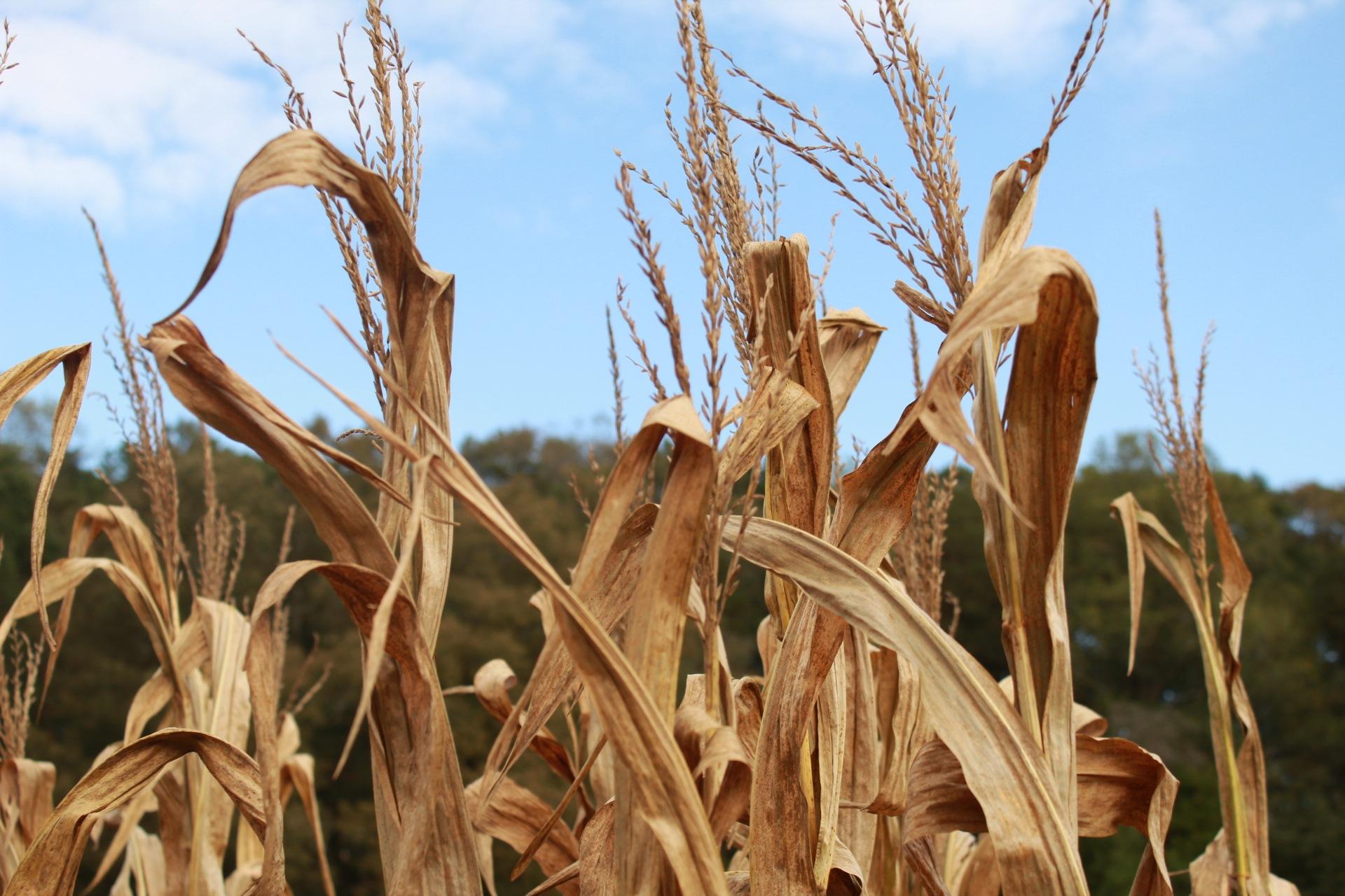 In the corn field by Jeremiah j fulwood