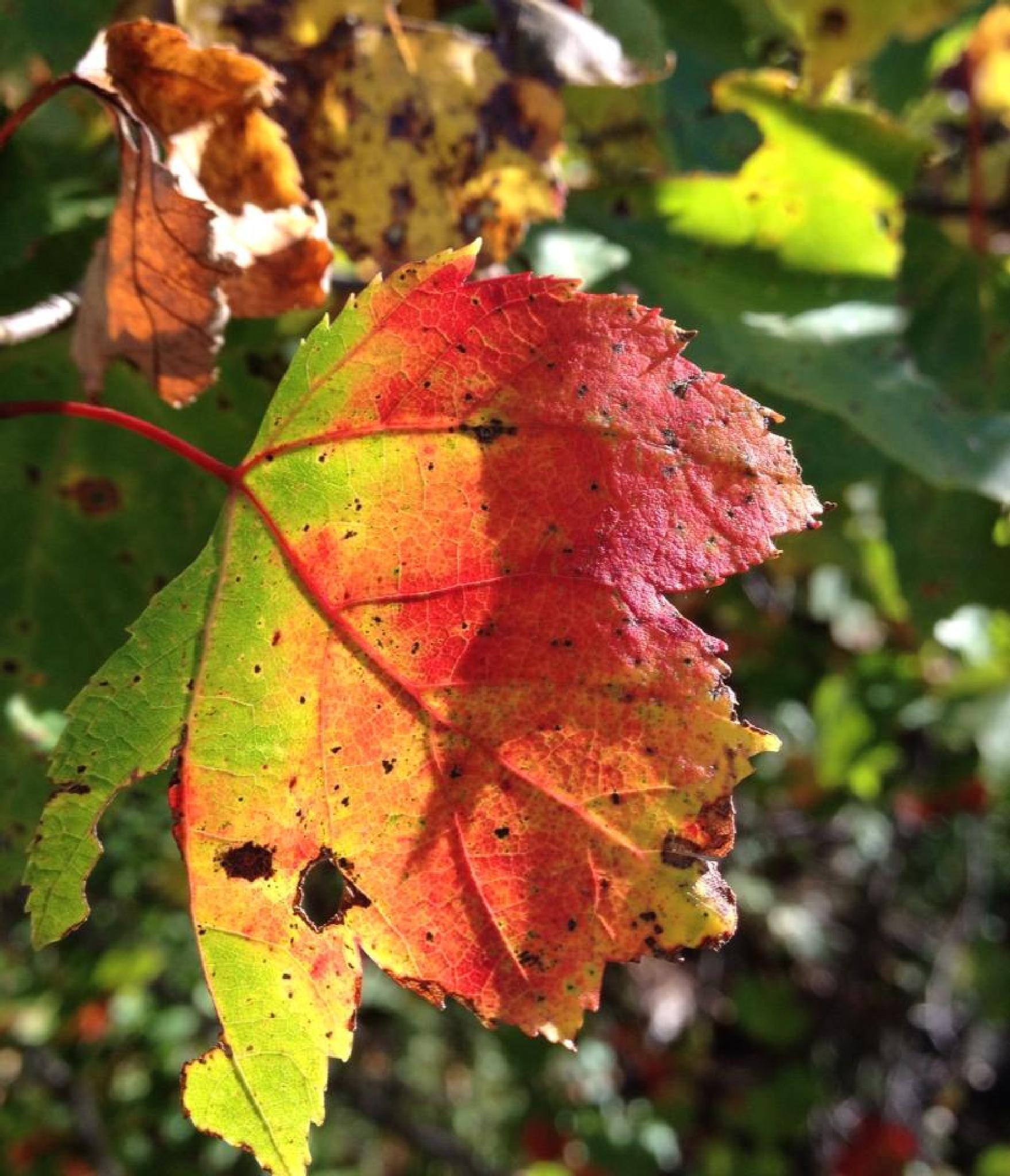 fall leaves by Kaylee MacLellan