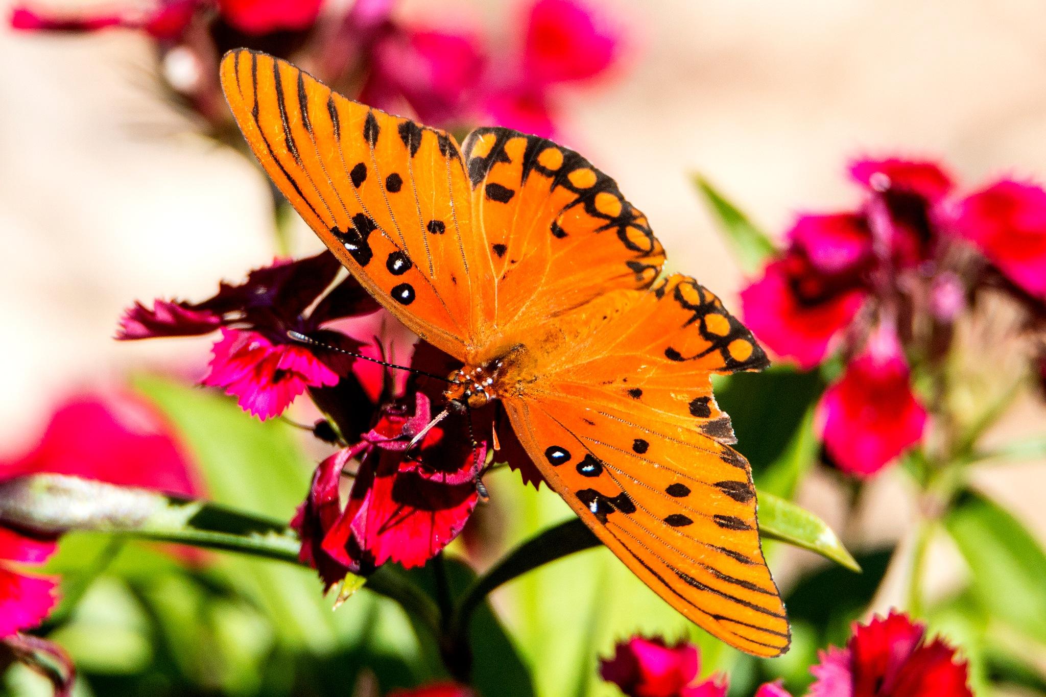 Gulf Fritillary Butterfly by Manny Obordo