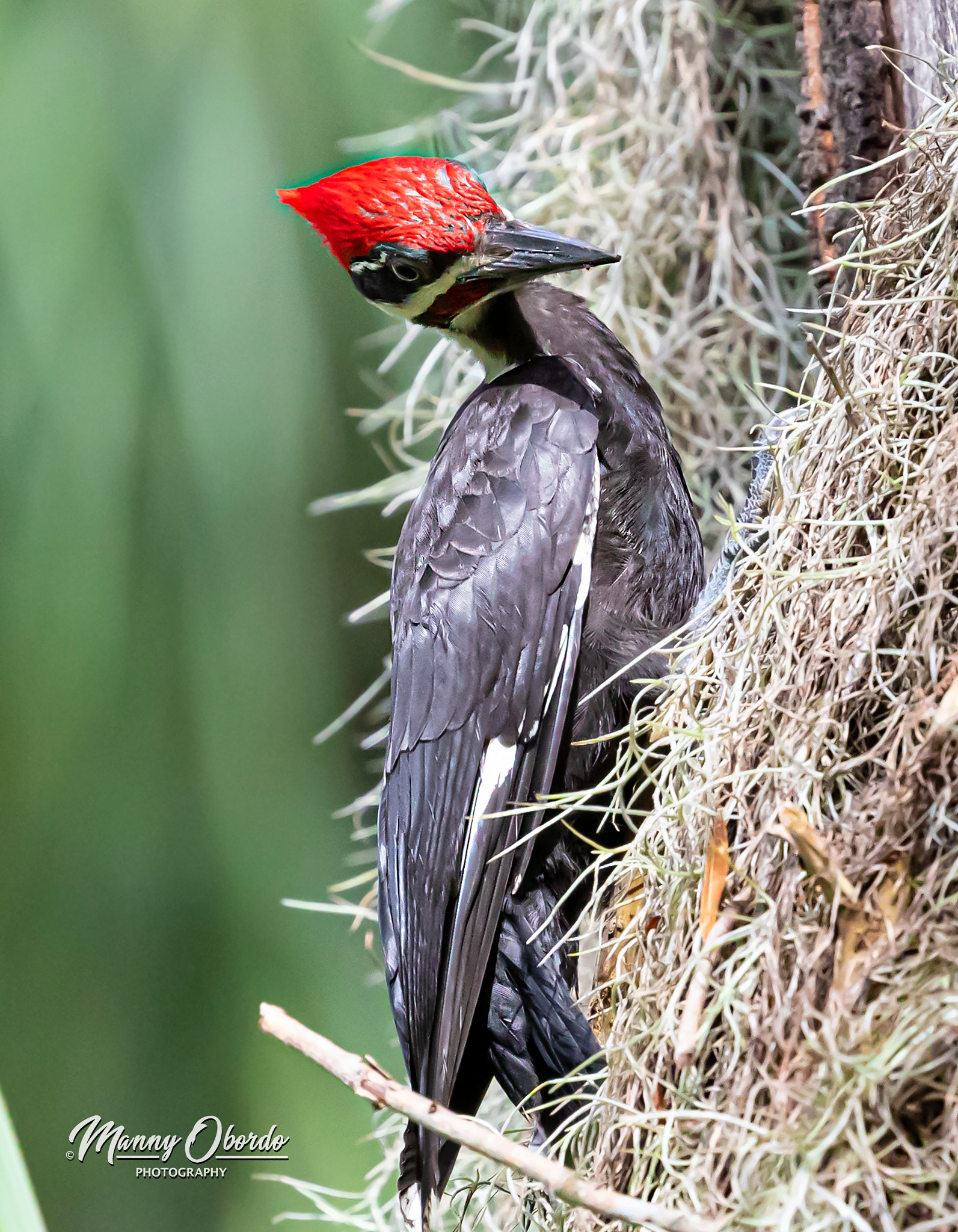 Pileated Woodpecker in the park on the prowl by Manny Obordo