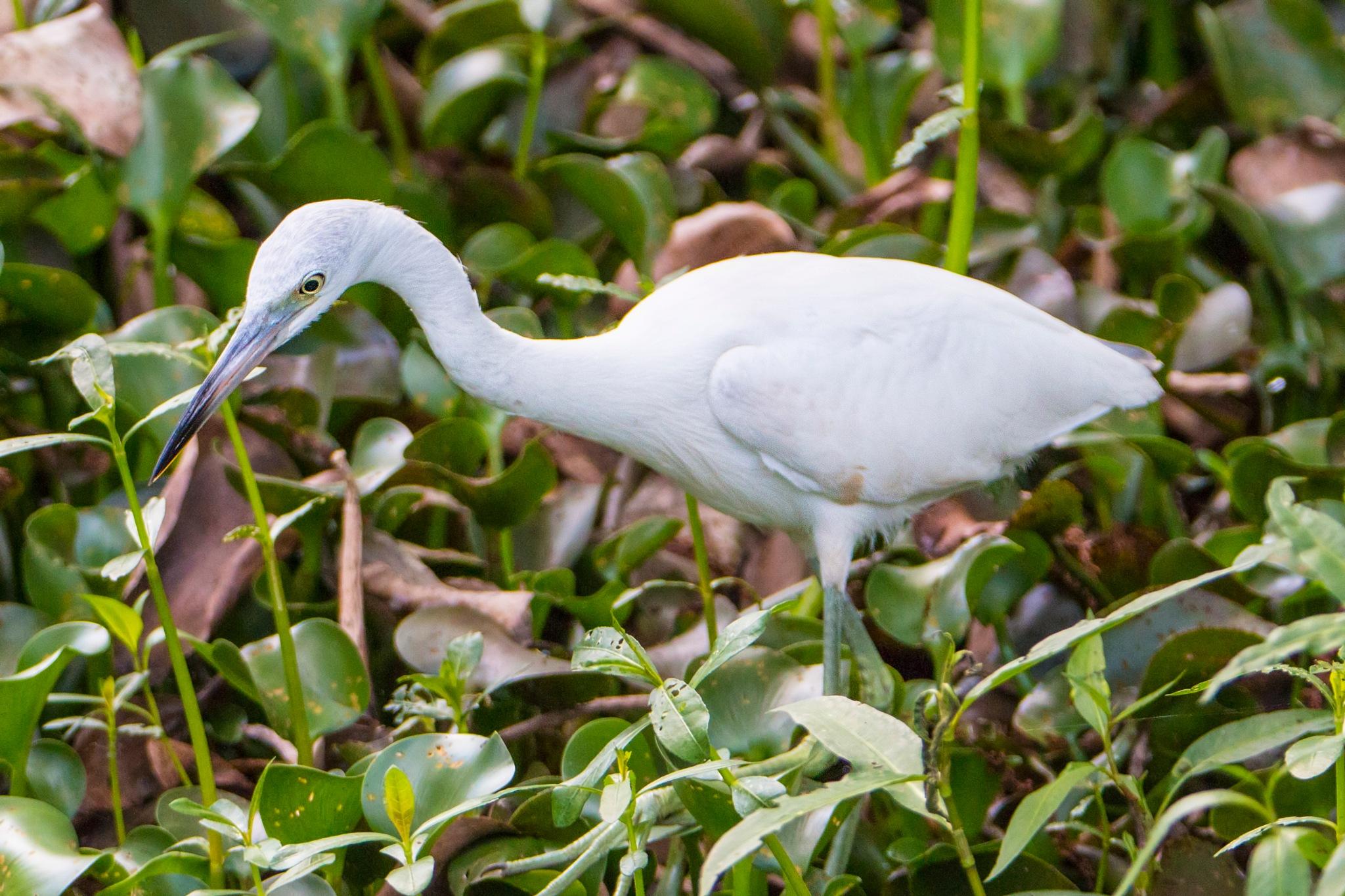 Great White Egret by Manny Obordo
