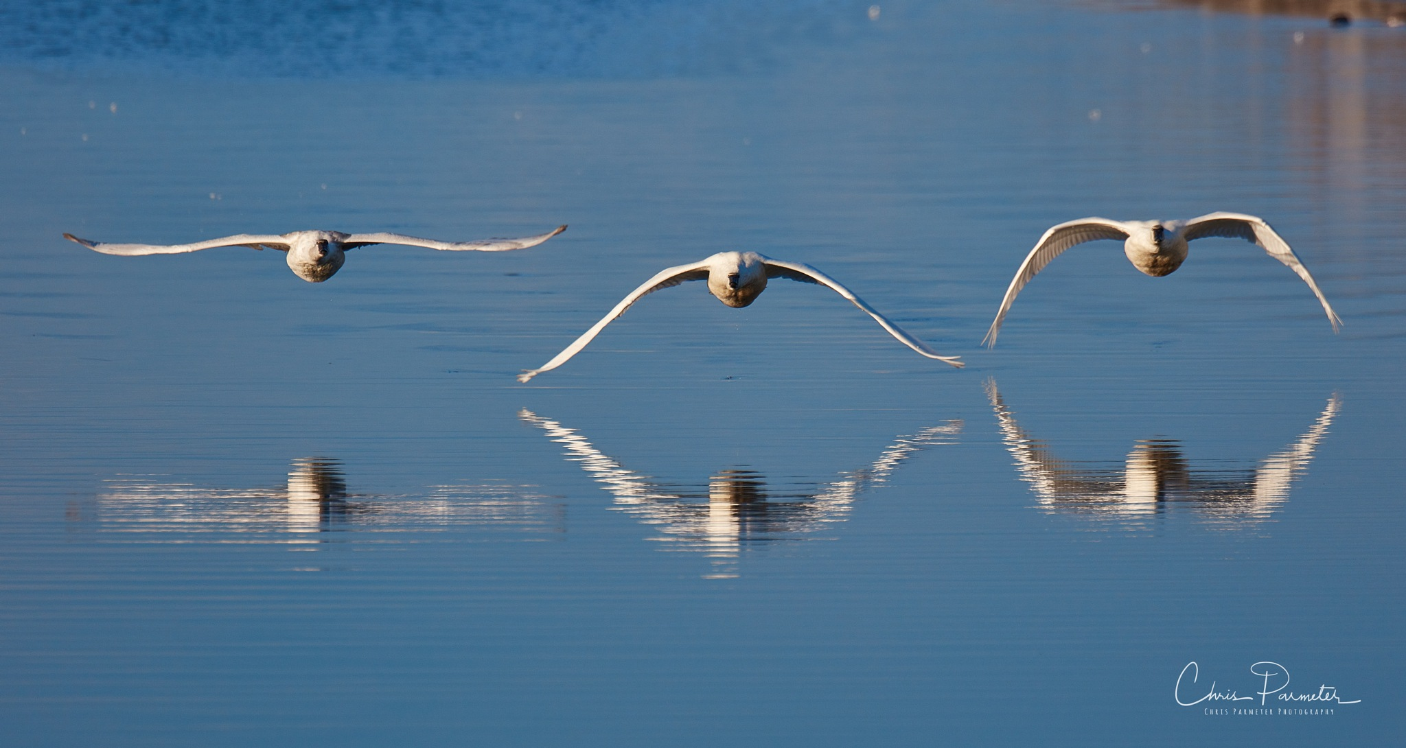 Swans Reflected by Chris Parmeter