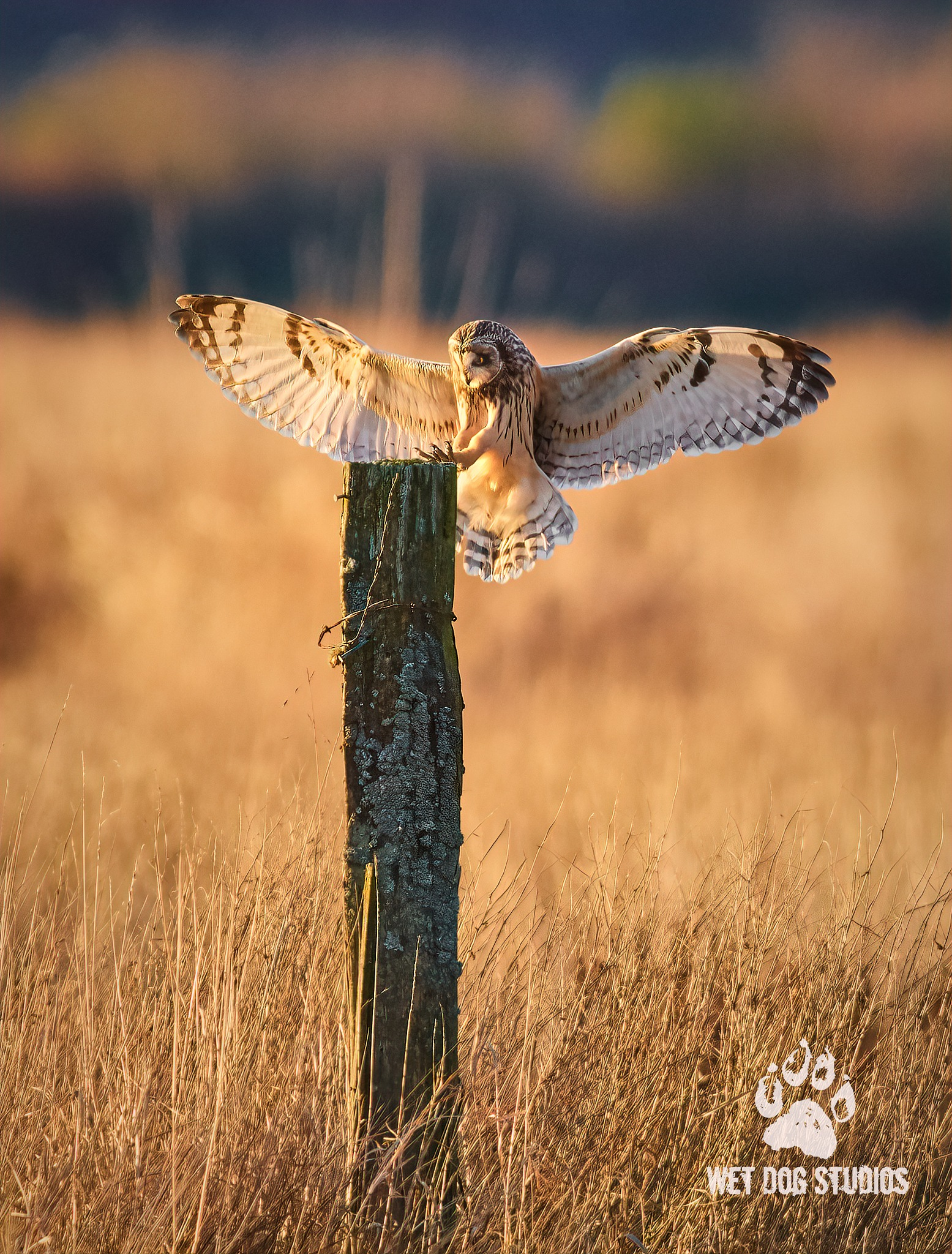 Short Eared Owl Landing at Sunset by Wet Dog Studios