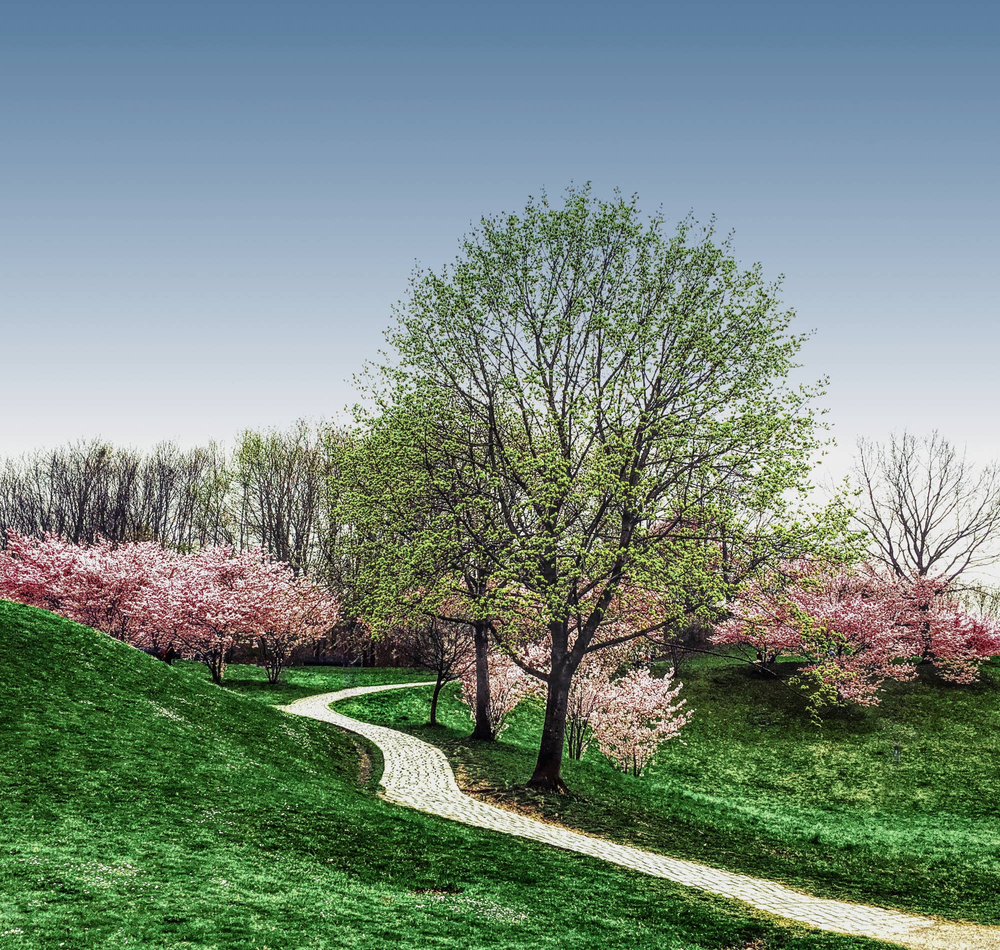 cherry blossom by Margritta