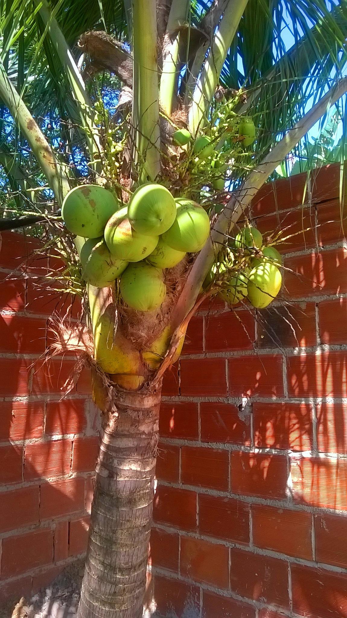 Coco  Verde by Nascimento