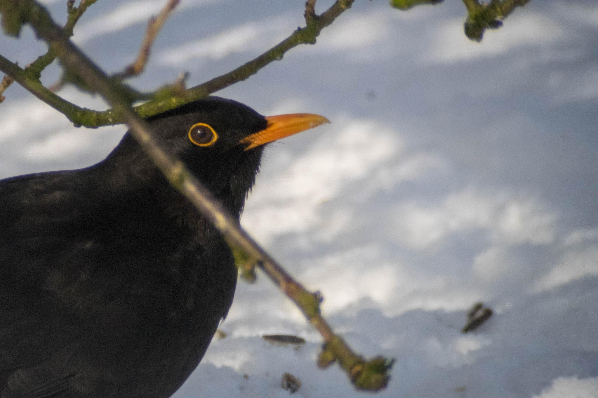 Blackbird in the snow by Lennart Karlsson