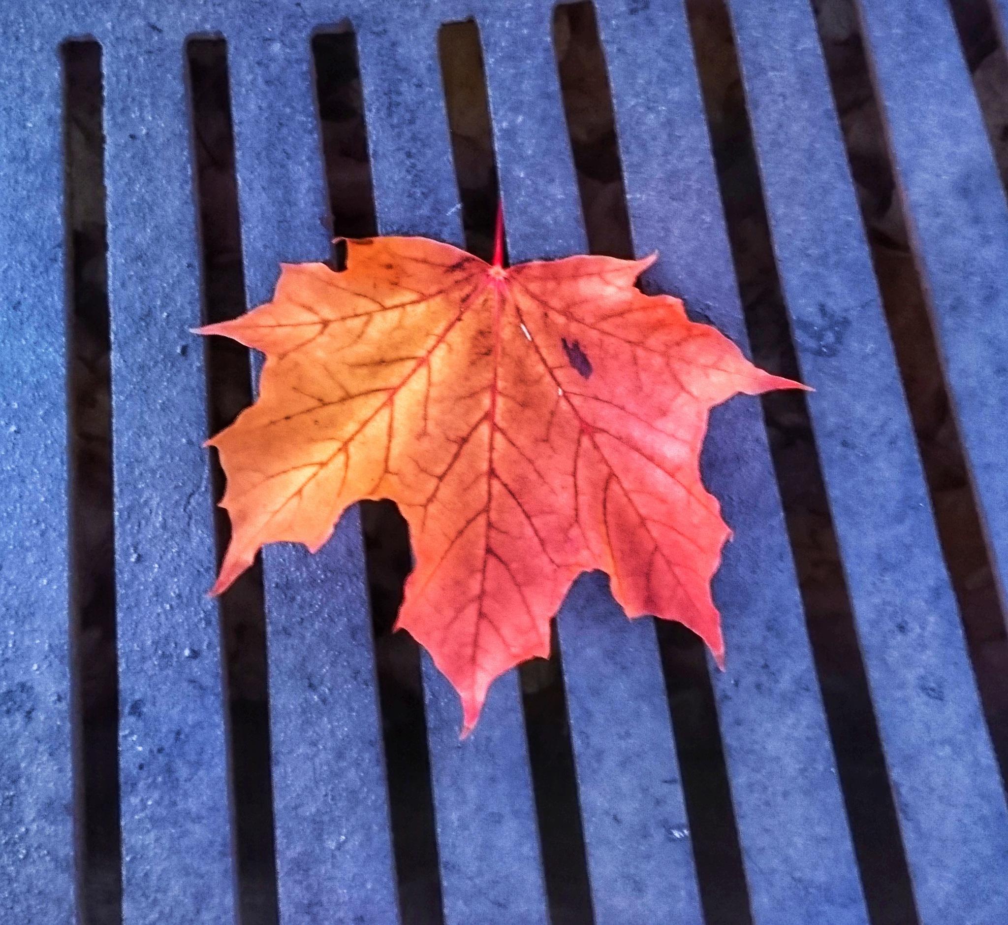 Maple leaf by Krister Honkonen