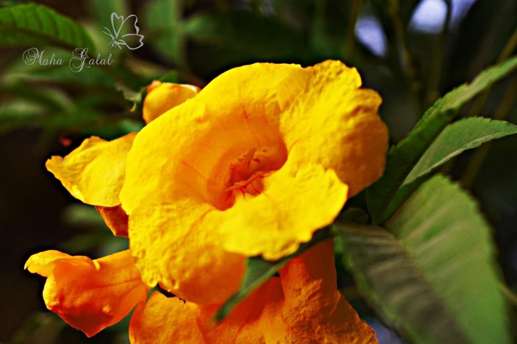 Yellow  by Maha Galal