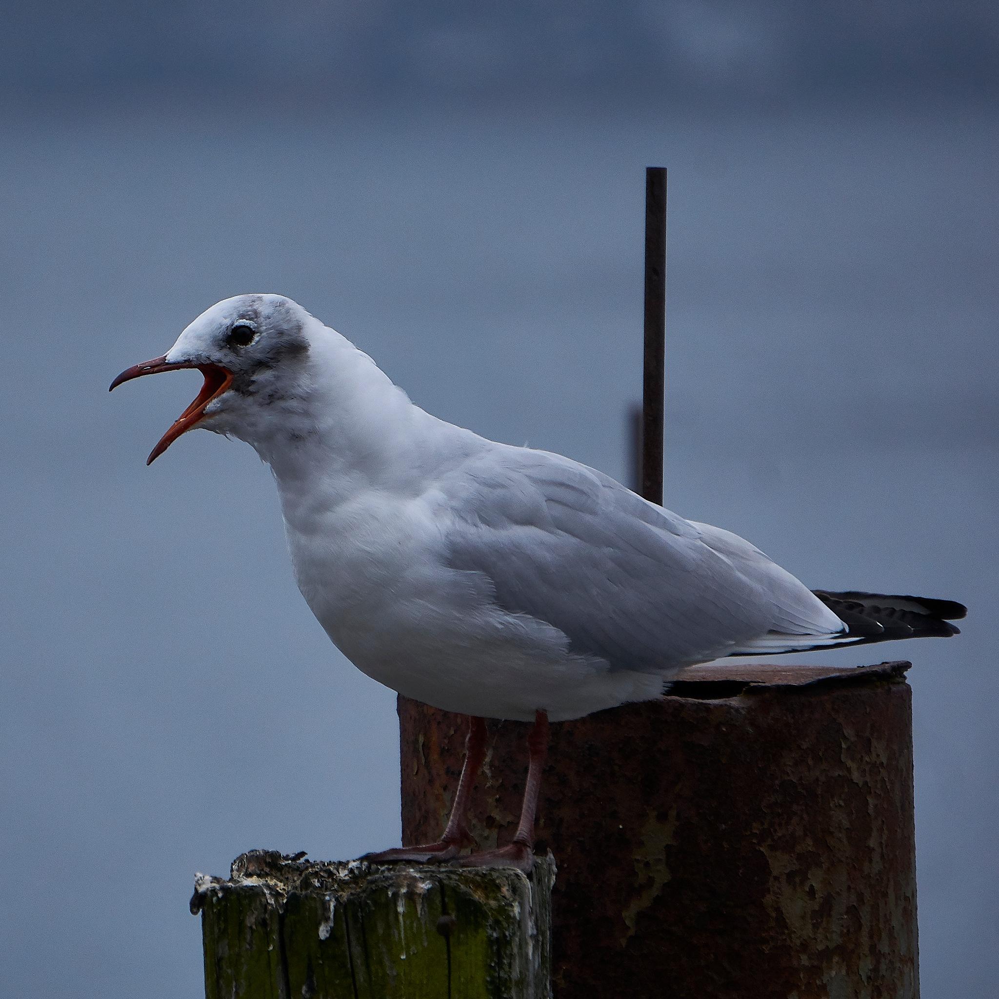 Screaming Gull by Peter Buck