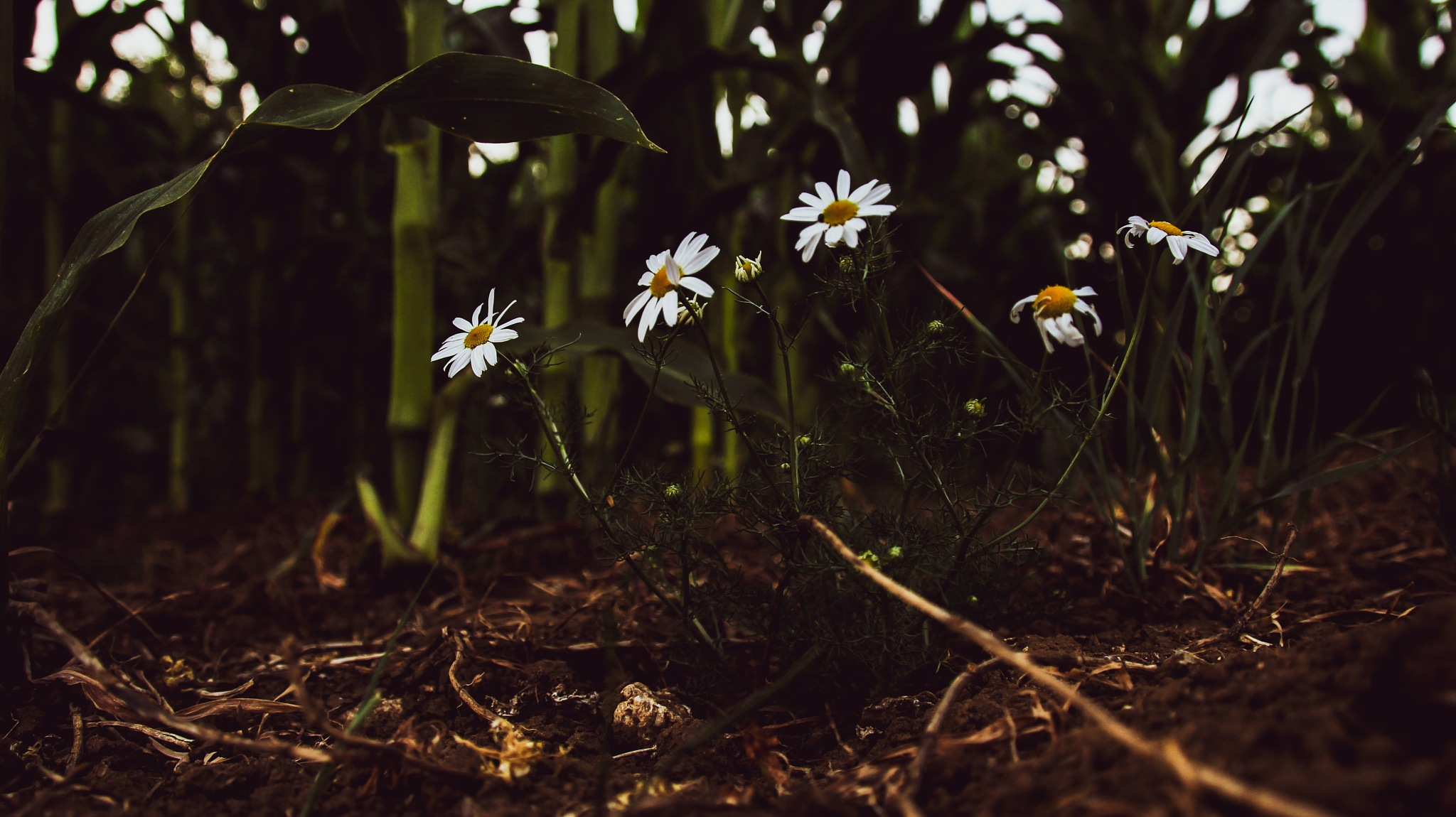 Daisys growing from the mud  by Harley Creighton