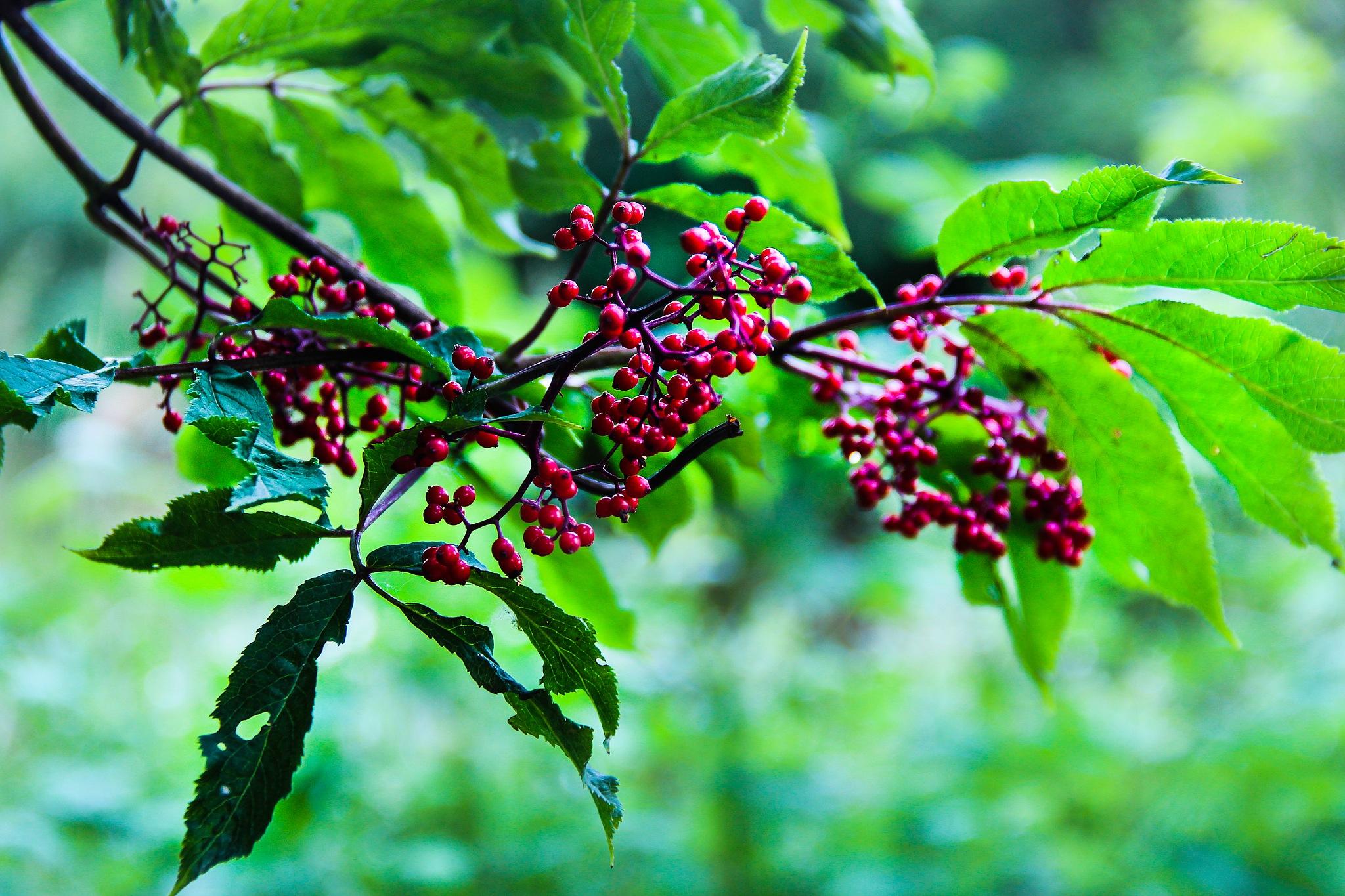 Wild Berries by Jason Graefen