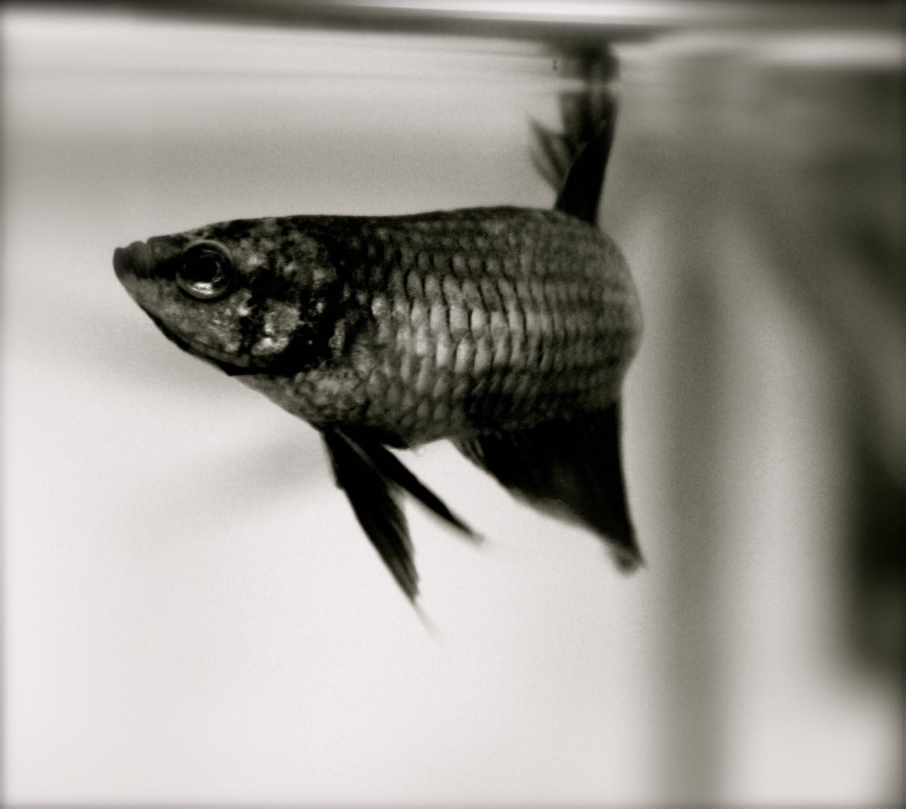 Betta Fish by Isabelle A