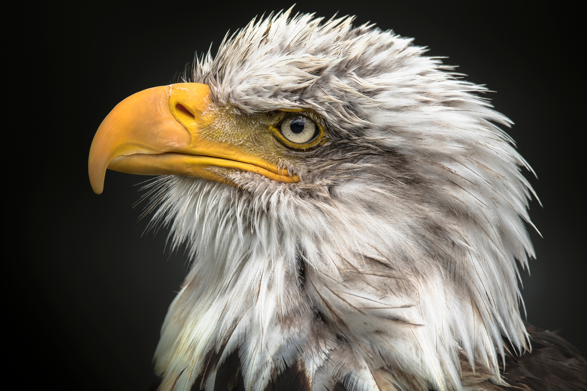 Bald Eagle  by Connull Lang