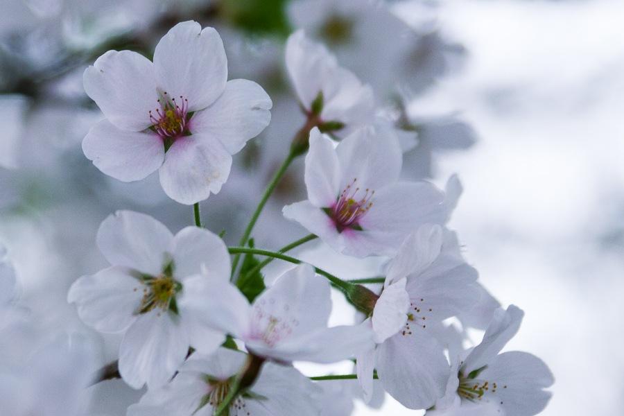 Cherry blossem by Salam Yahya