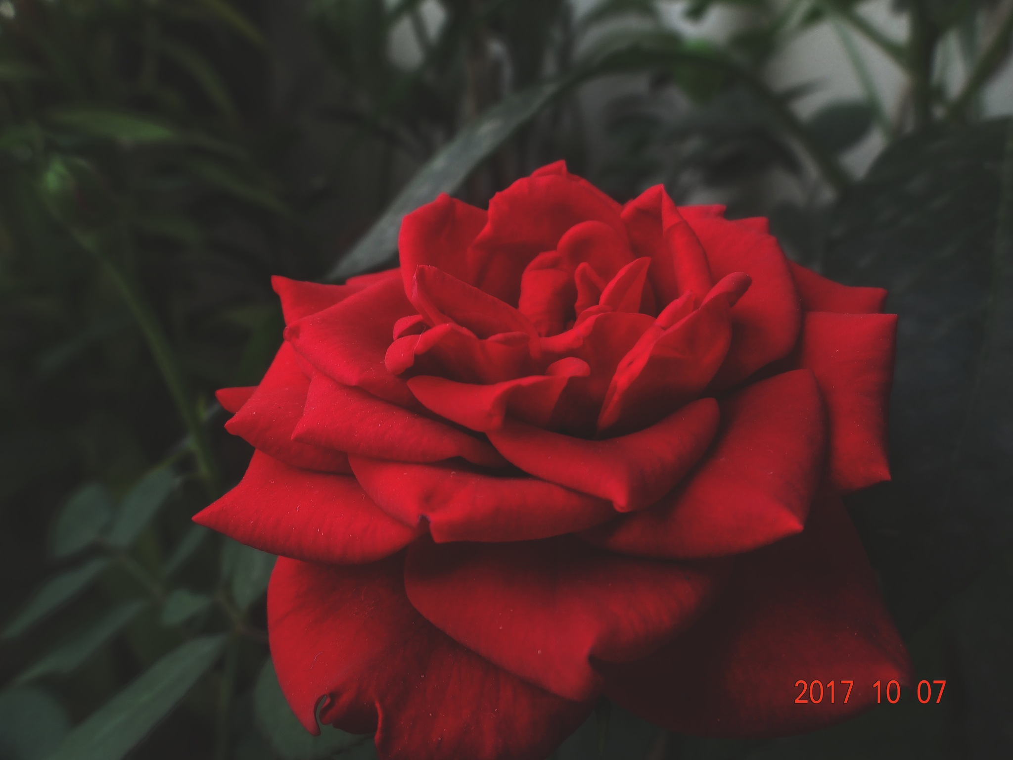 Photo in Nature #rose #flower #red #nature