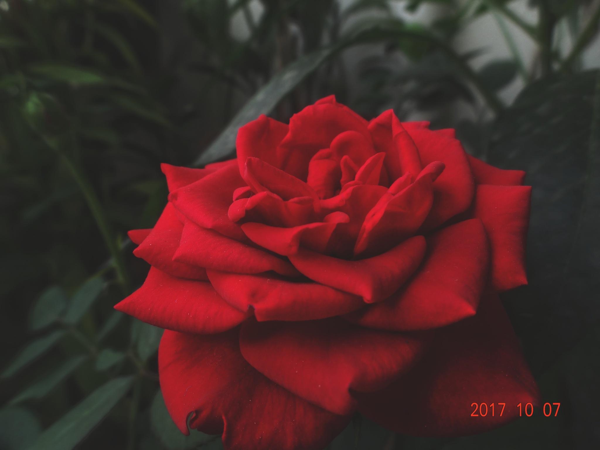 Rose by Viren Khatri