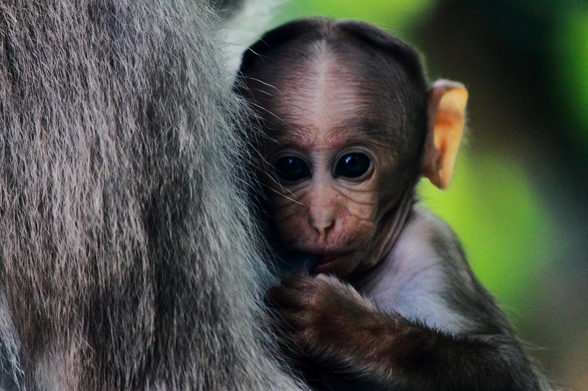 The bonnet macaque (Macaca radiata)  by VïšhNu CoF