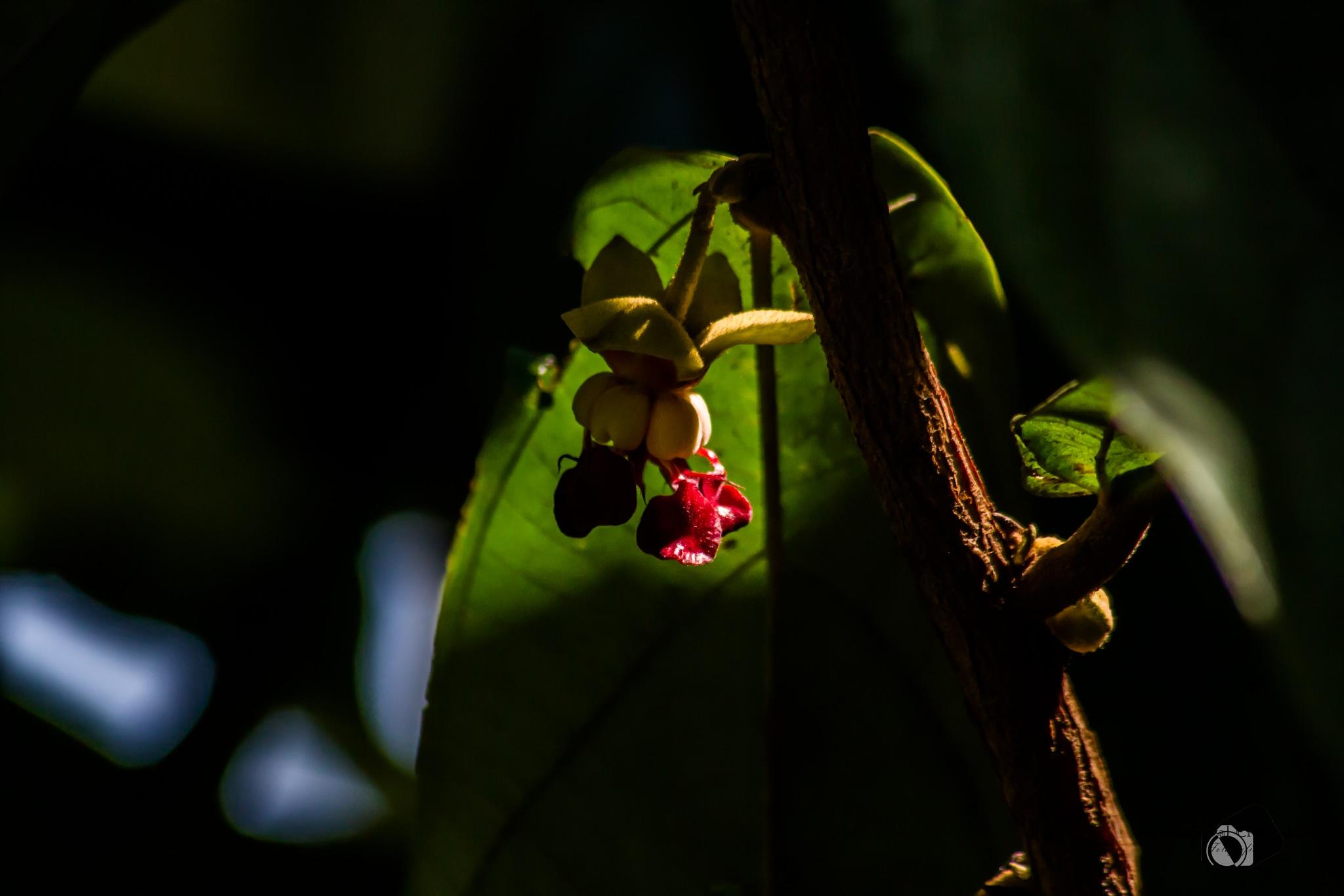 Cupuaçu Flower by Nourival Credendio Junior